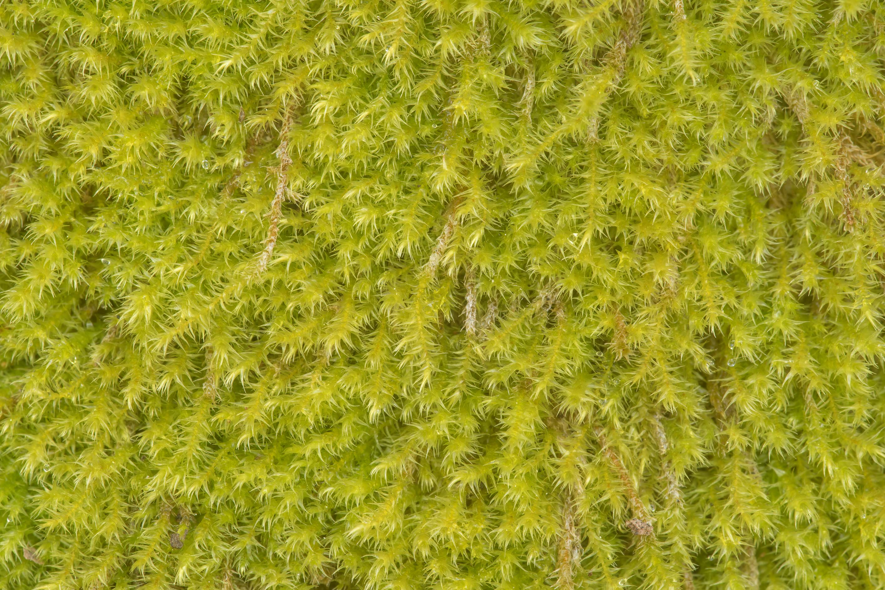 Close-up of woolly green moss on exposed soil on...a trail in Hensel Park. Bryan, Texas