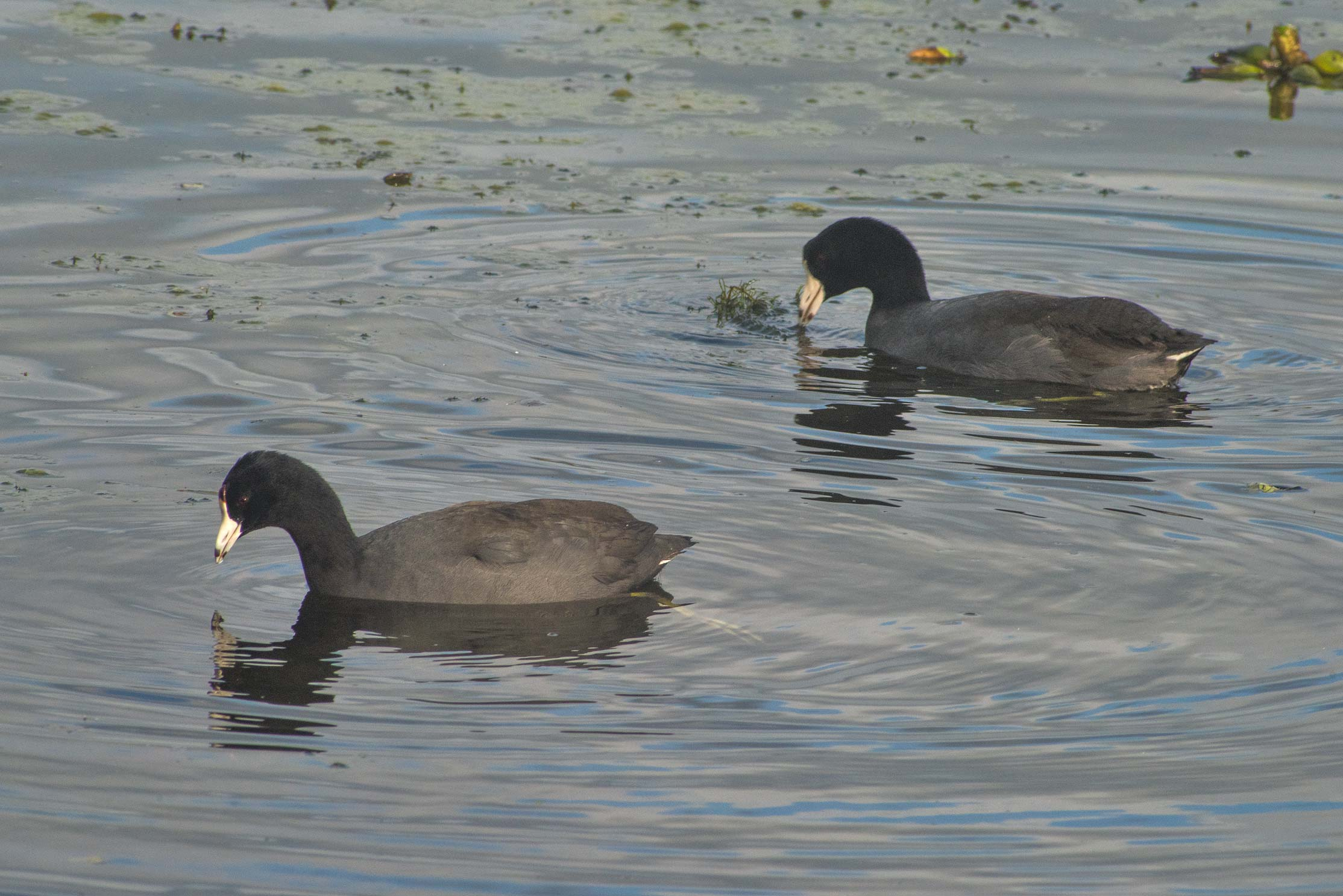 American coot birds on 40-Acre Lake in Brazos Bend State Park. Needville, Texas