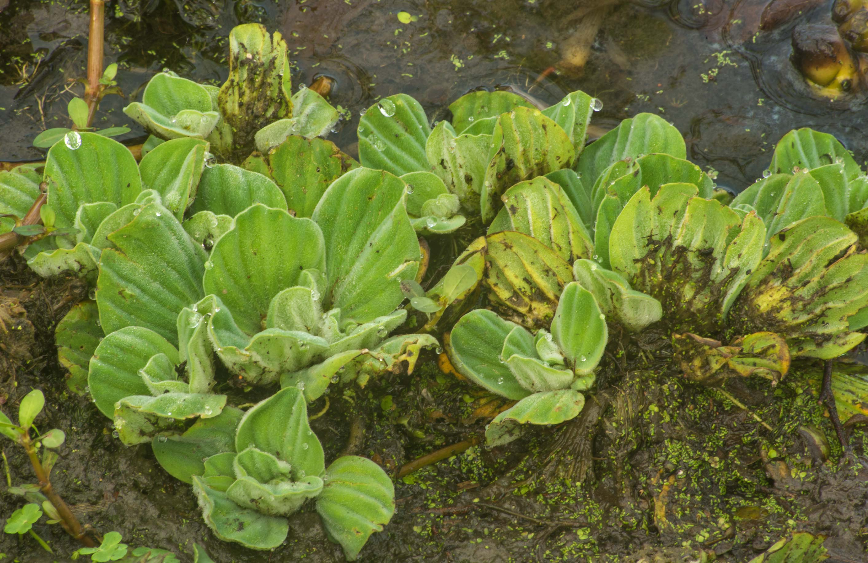 Water lettuce (Pistia stratiotes) on 40-Acre Lake...Bend State Park. Needville, Texas