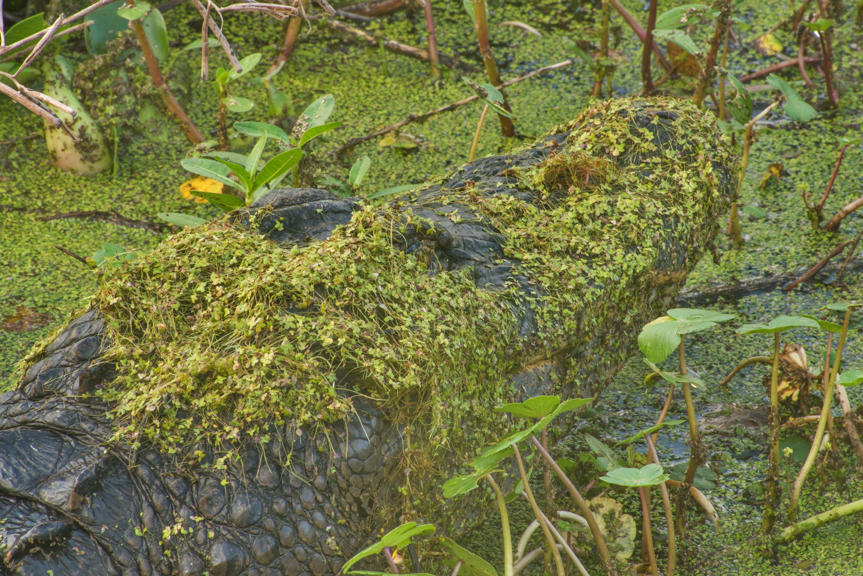 Duckweed on alligator's head from Spillway Trail...Bend State Park. Needville, Texas