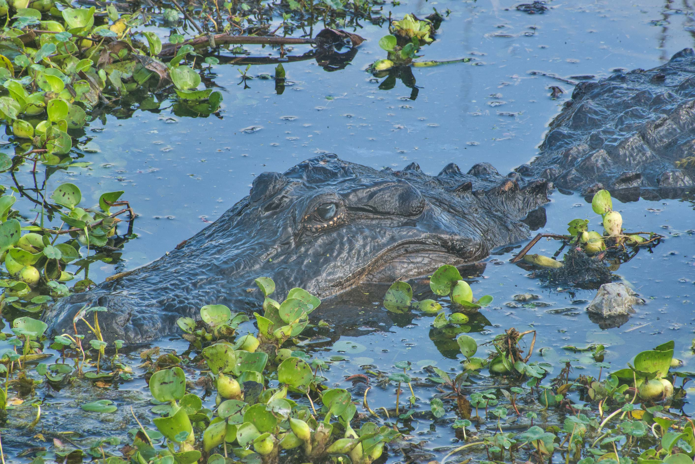 Alligator and water hyacinth from Spillway Trail...Bend State Park. Needville, Texas