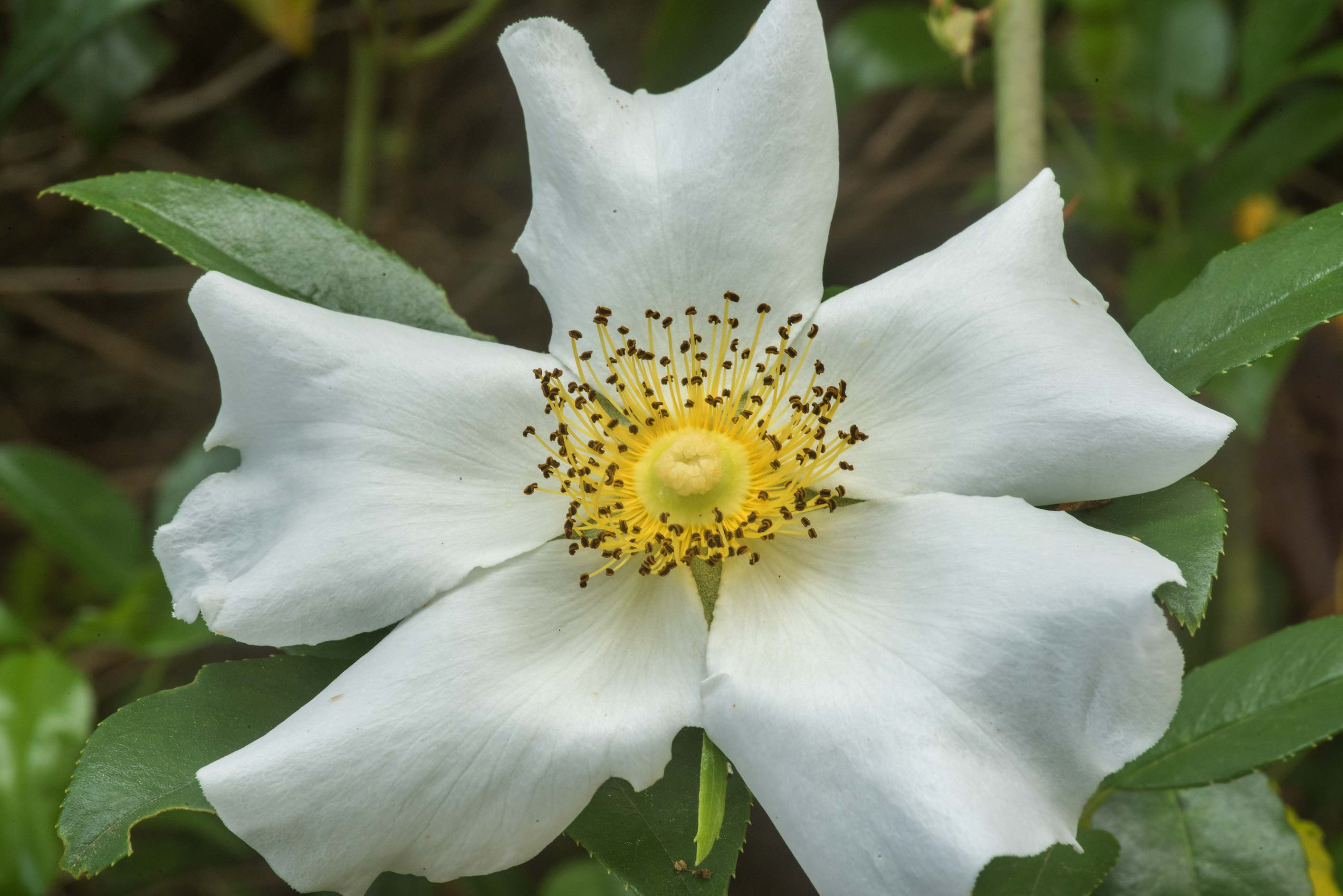 White rose on Prairie Trail in Brazos Bend State Park. Needville, Texas
