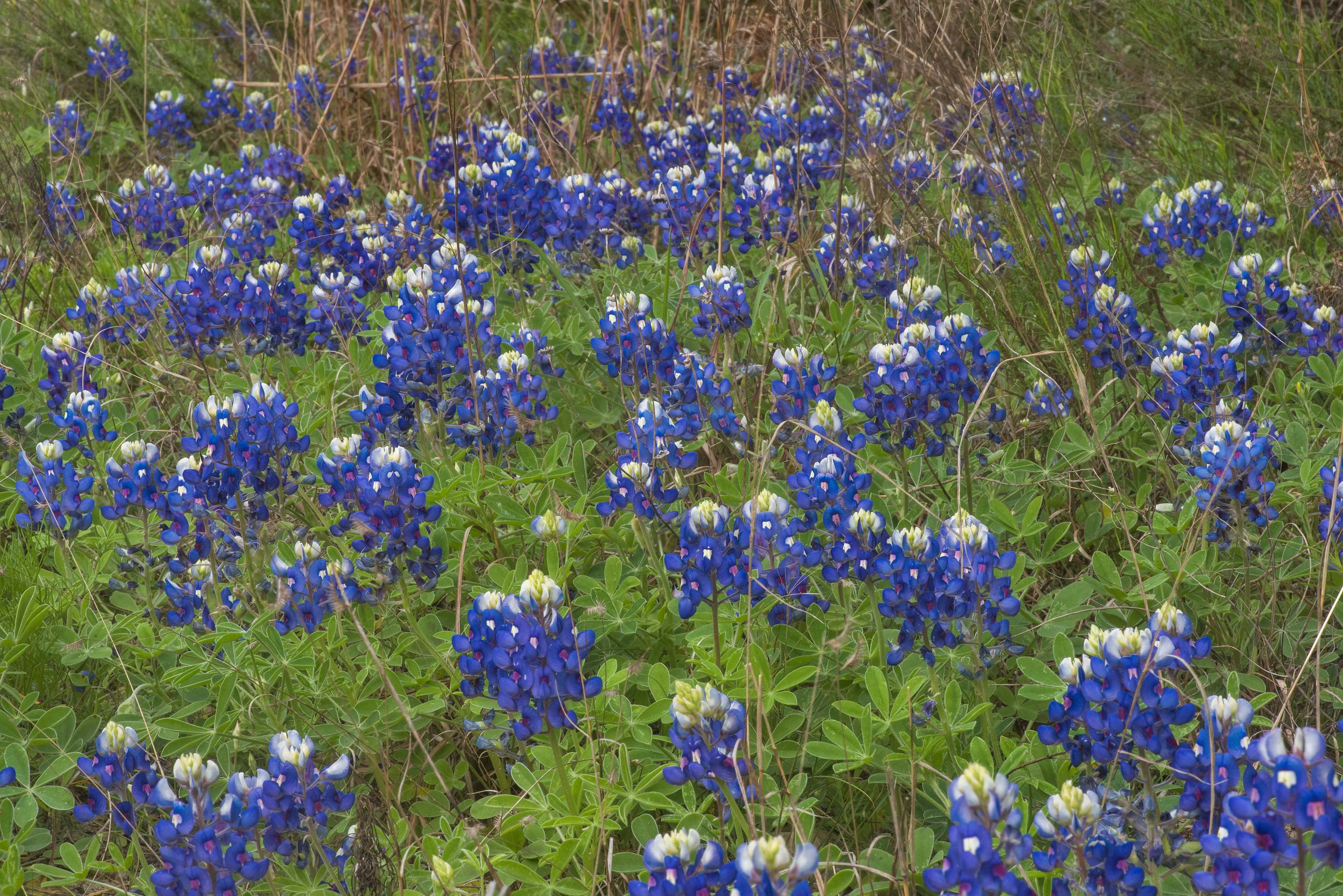 Flowers of bluebonnet (Lupinus) on Moore's Hill...miles north-east from Navasota. Texas