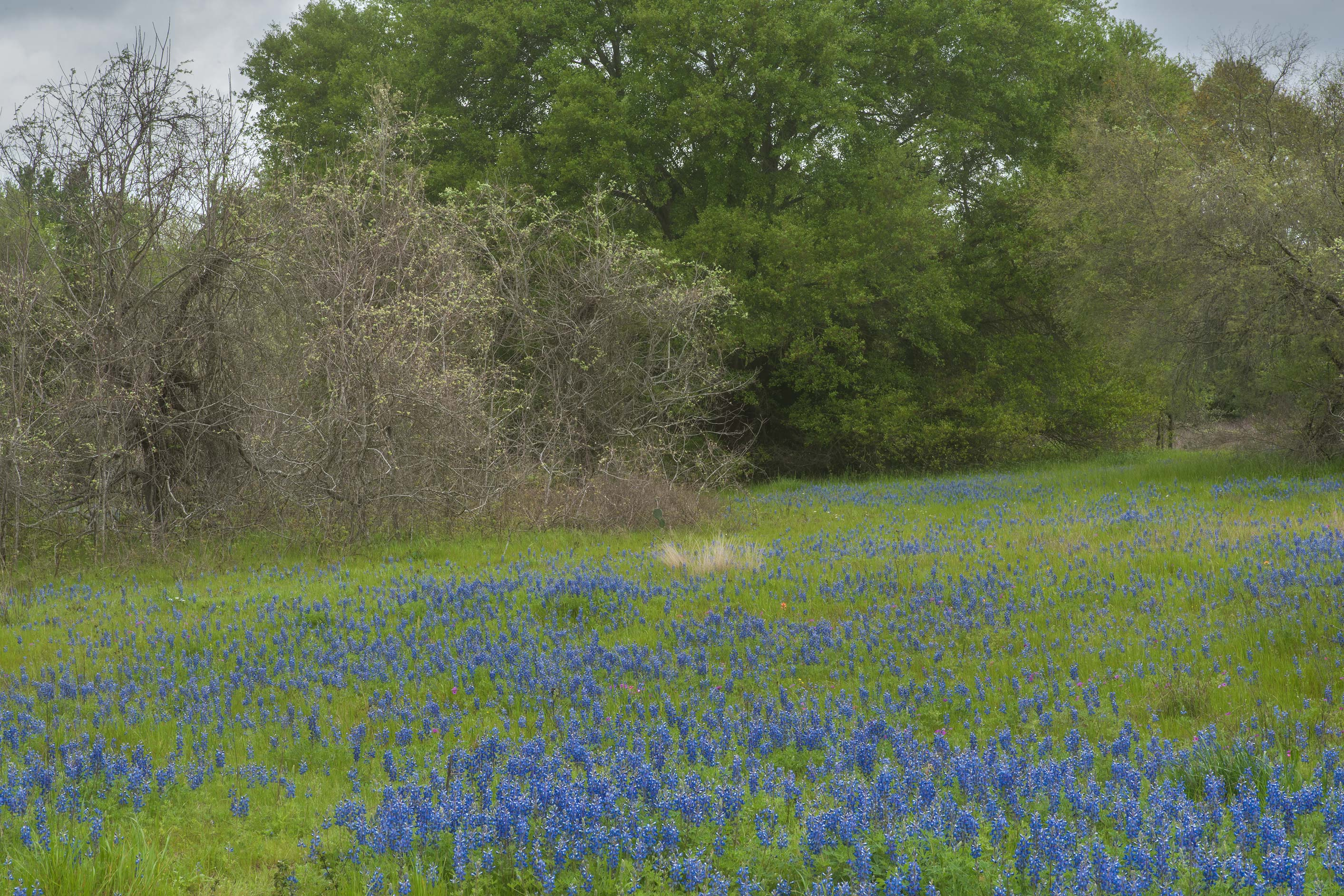 Field of bluebonnet (Lupinus) in Washington-on...State Historic Site. Washington, Texas