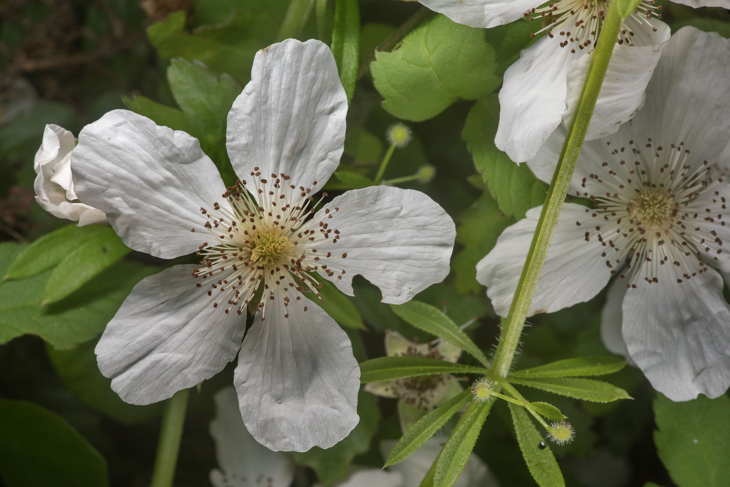 White flowers of dewberry in Washington-on-the...State Historic Site. Washington, Texas