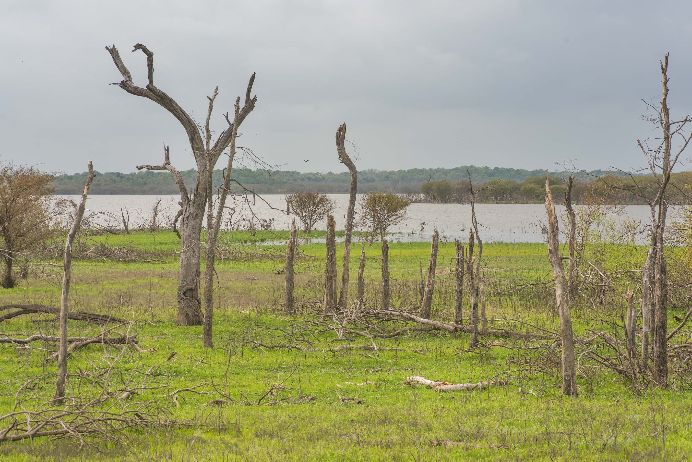 Dry oaks in a formerly flooded area at Lake...of Somerville Lake State Park. Texas