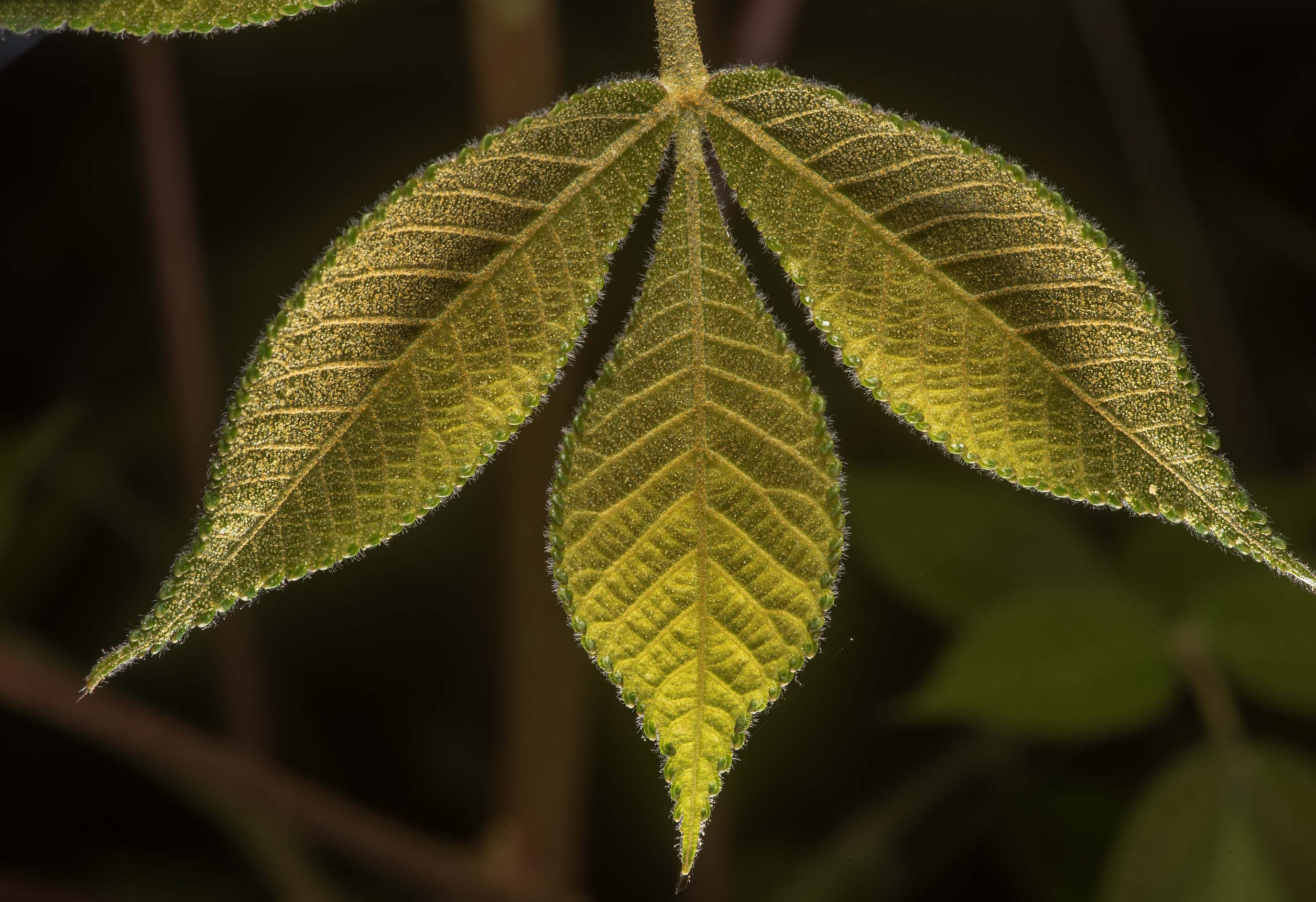 Young leaves of sumac on Richards Loop Trail in Sam Houston National Forest. Texas