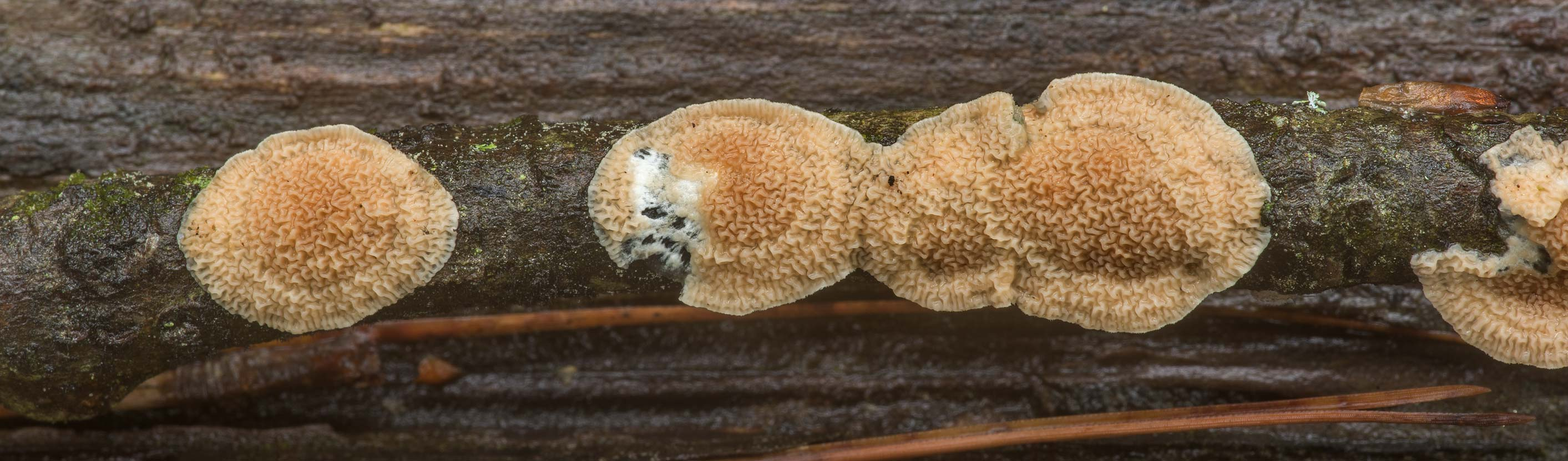 Leucogyrophana crust fungus on a thin twig on...National Forest. Richards, Texas