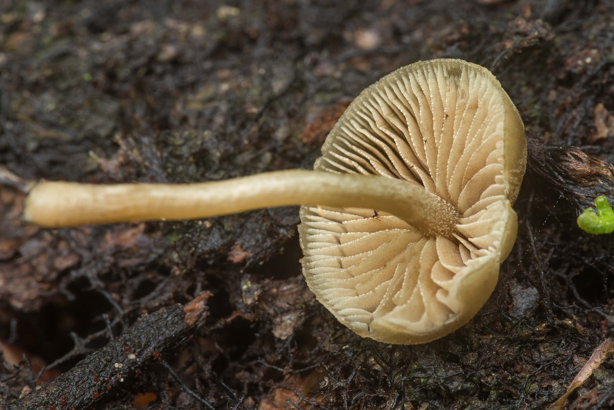 Underside of dingy twiglet mushroom (Simocybe...National Forest. Richards, Texas