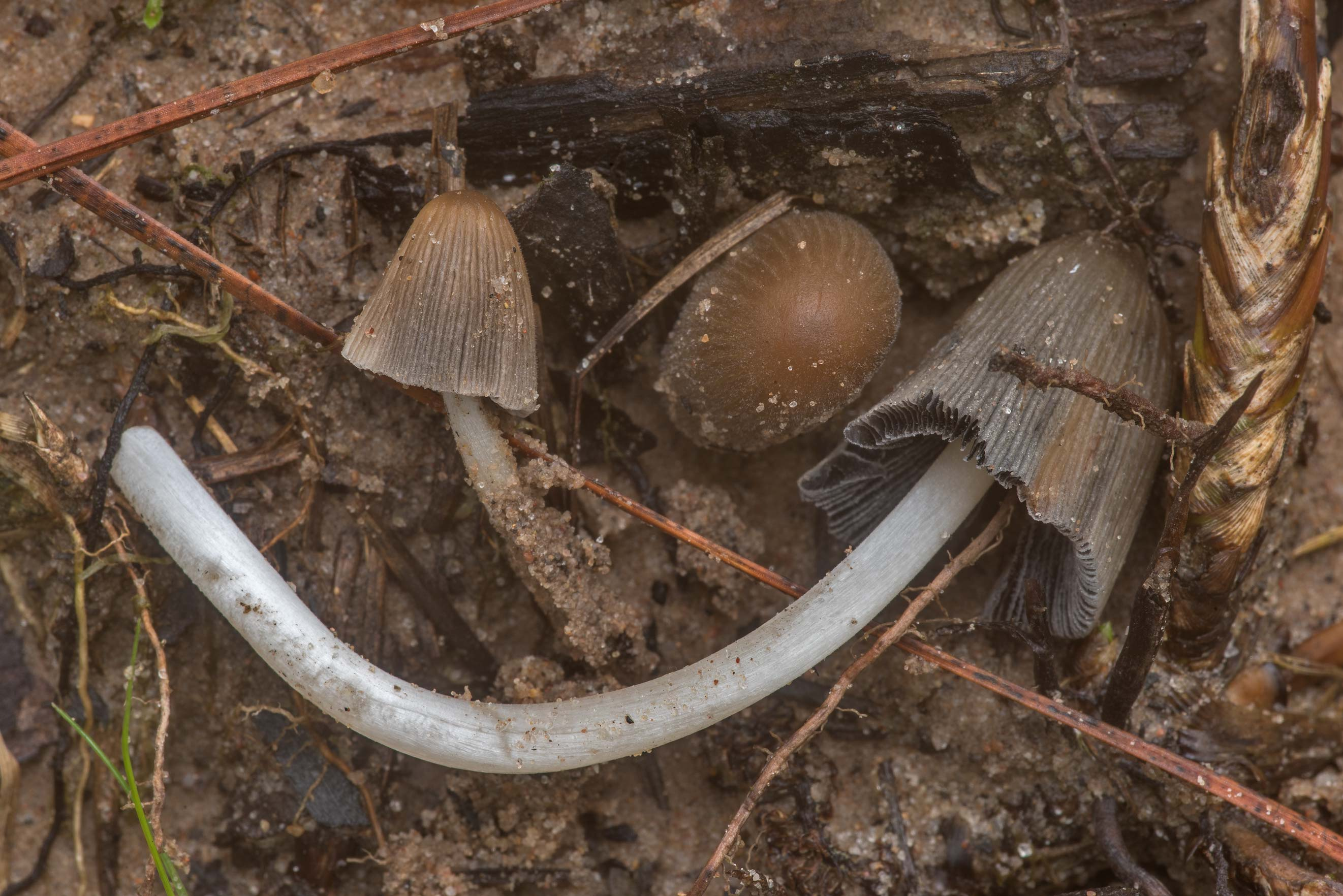 Bishop's inkcap mushrooms (Coprinellus angulatus...Forest north from Montgomery. Texas