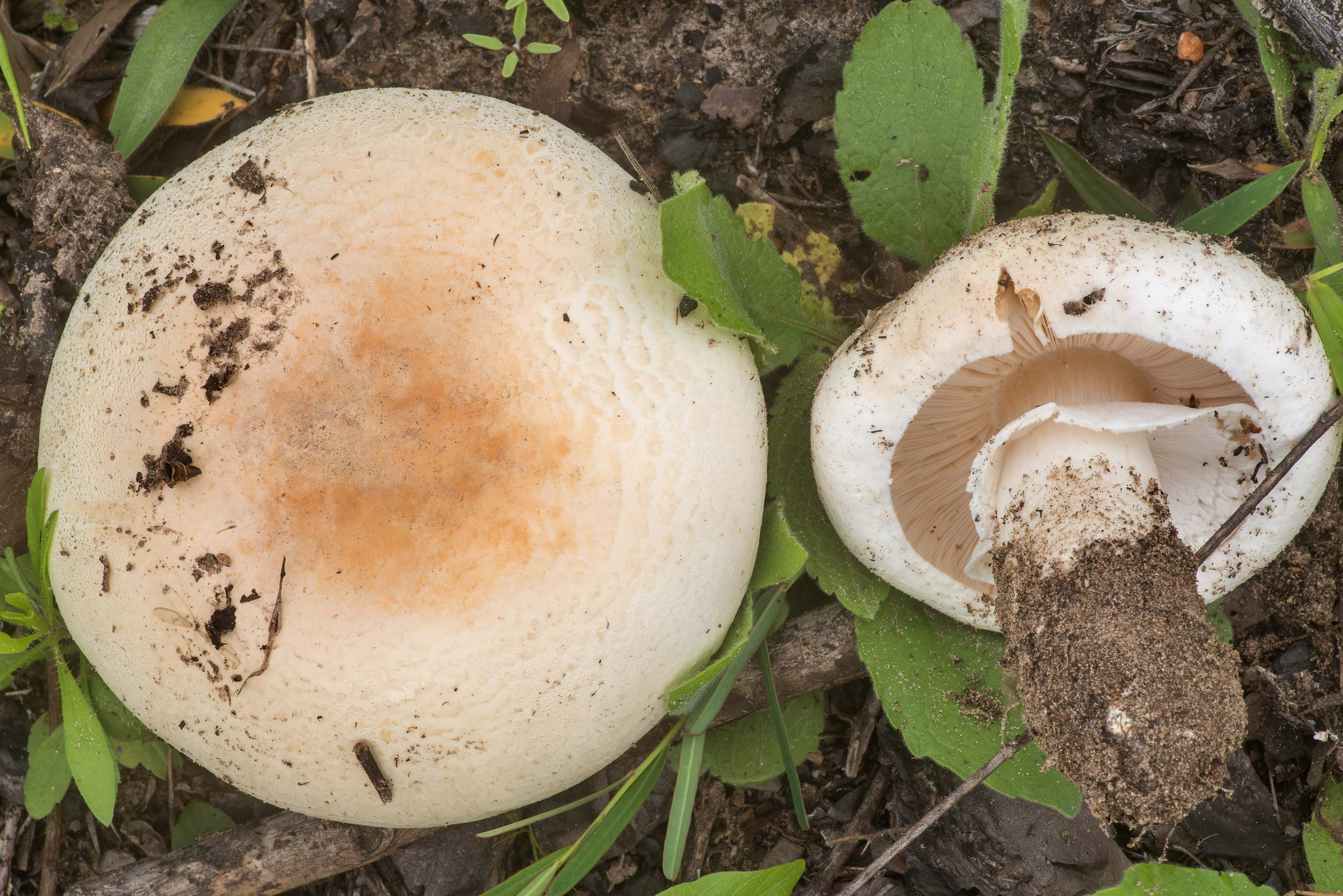 Side view of a large Agaricus mushroom in a semi...in Bastrop State Park. Bastrop, Texas
