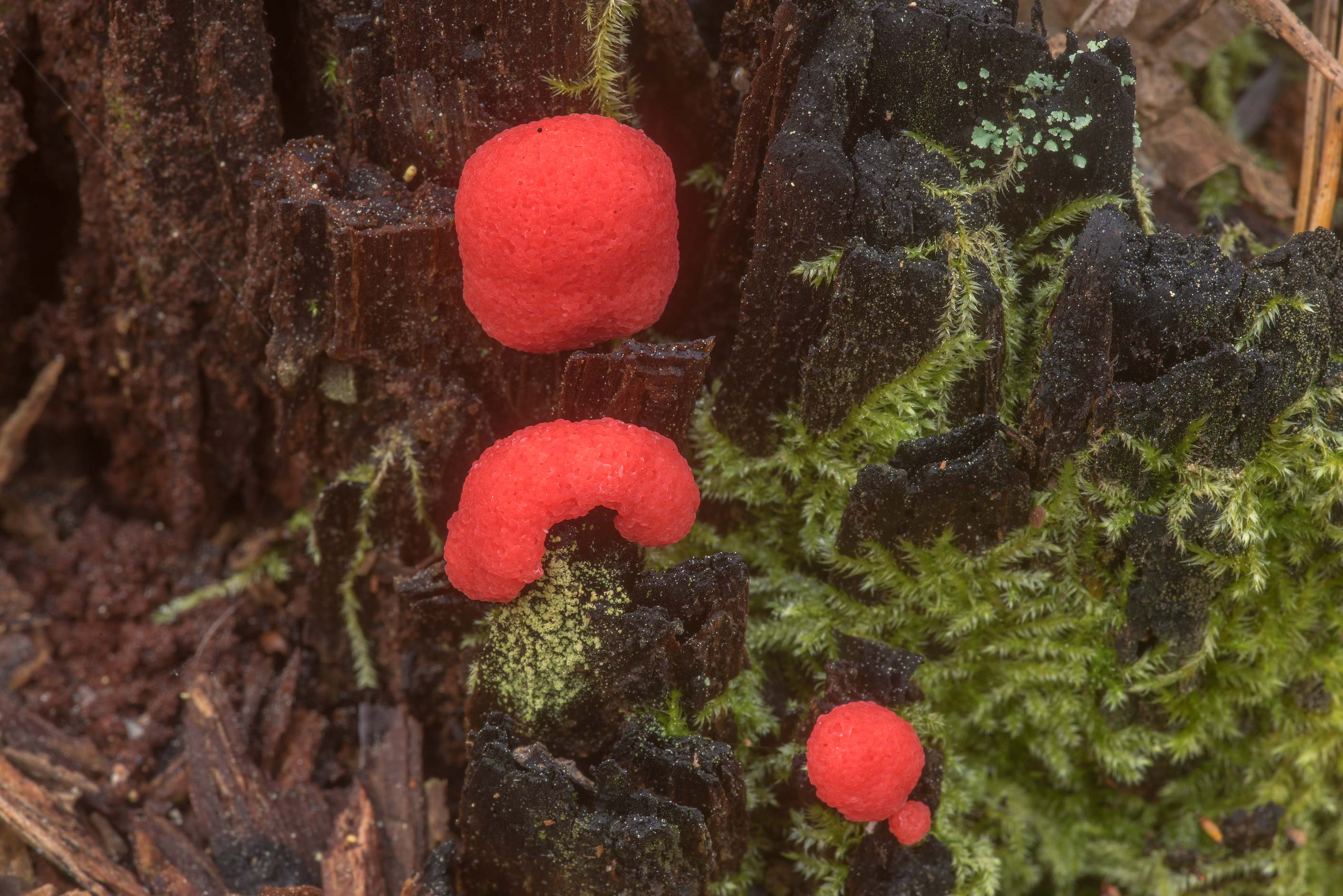 Raspberry slime mold (Tubifera ferruginosa) on a...in Sam Houston National Forest. Texas