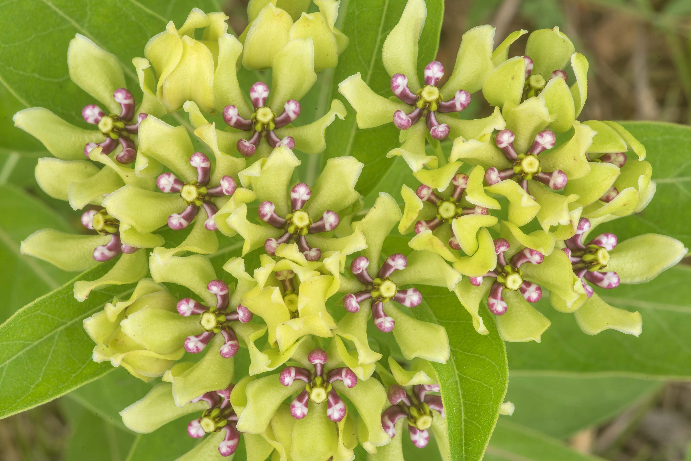 Flowers of green milkweed (Asclepias viridis) on...State Historic Site. Washington, Texas