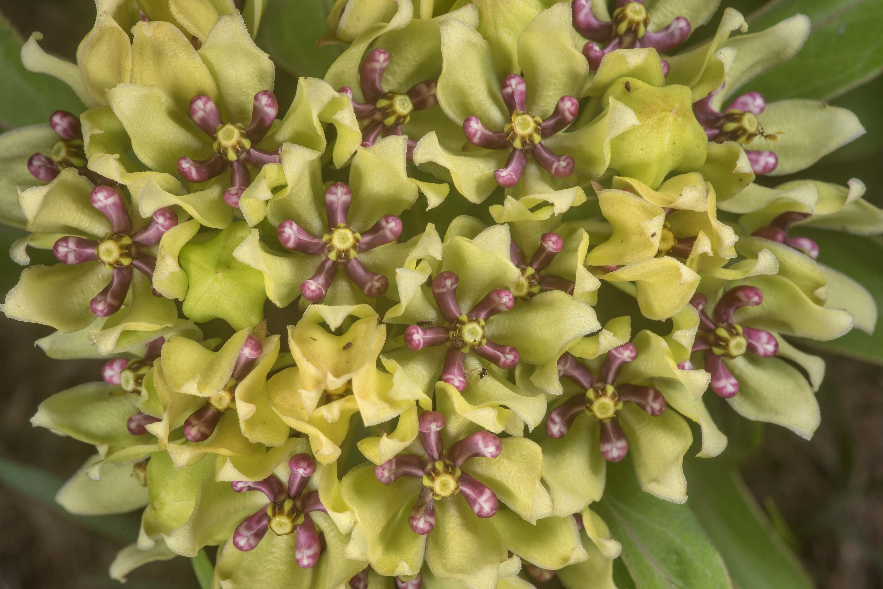 Green milkweed (Asclepias viridis) in bloom on...State Historic Site. Washington, Texas