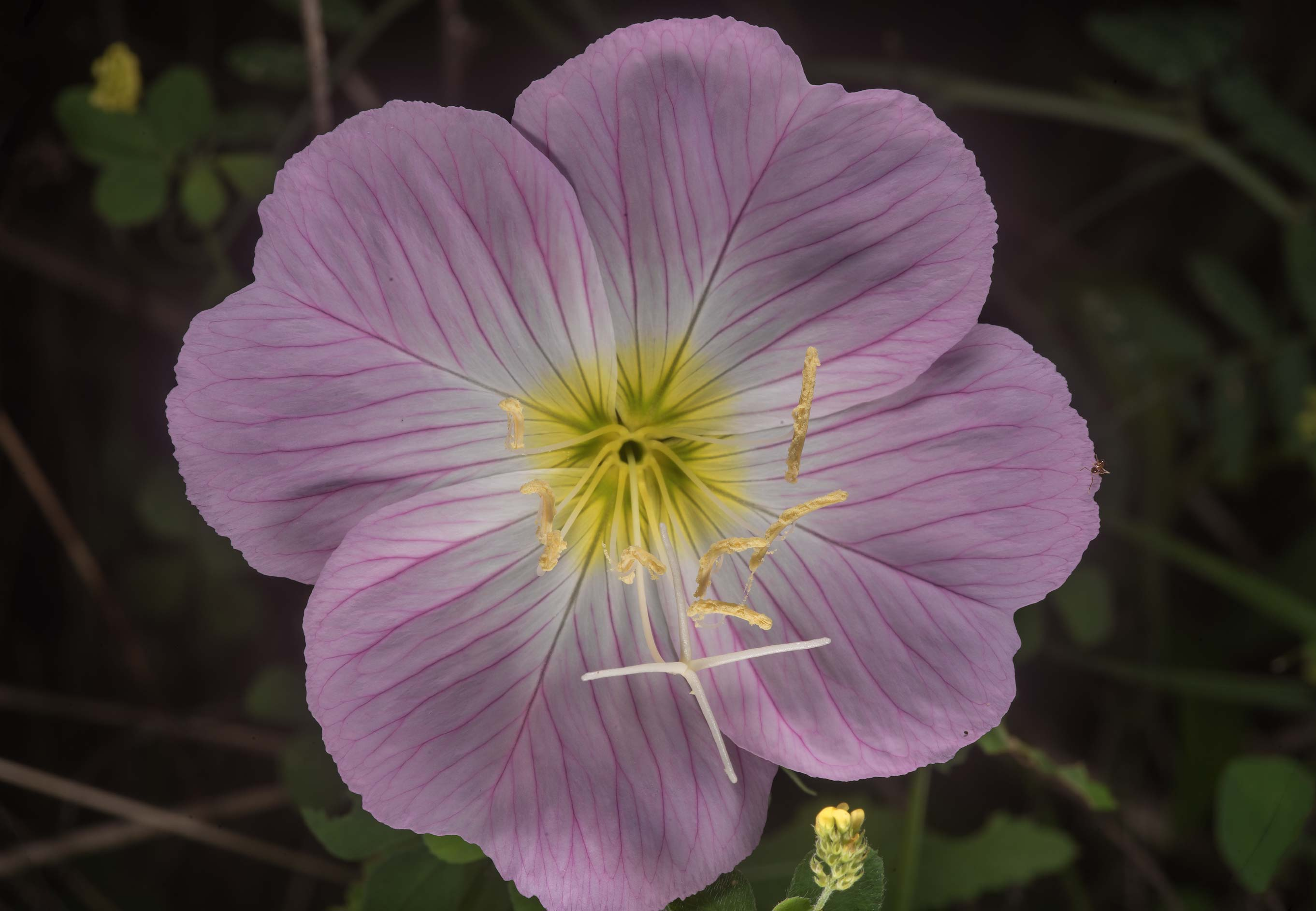 Large flower of showy evening primrose (Oenothera...State Historic Site. Washington, Texas