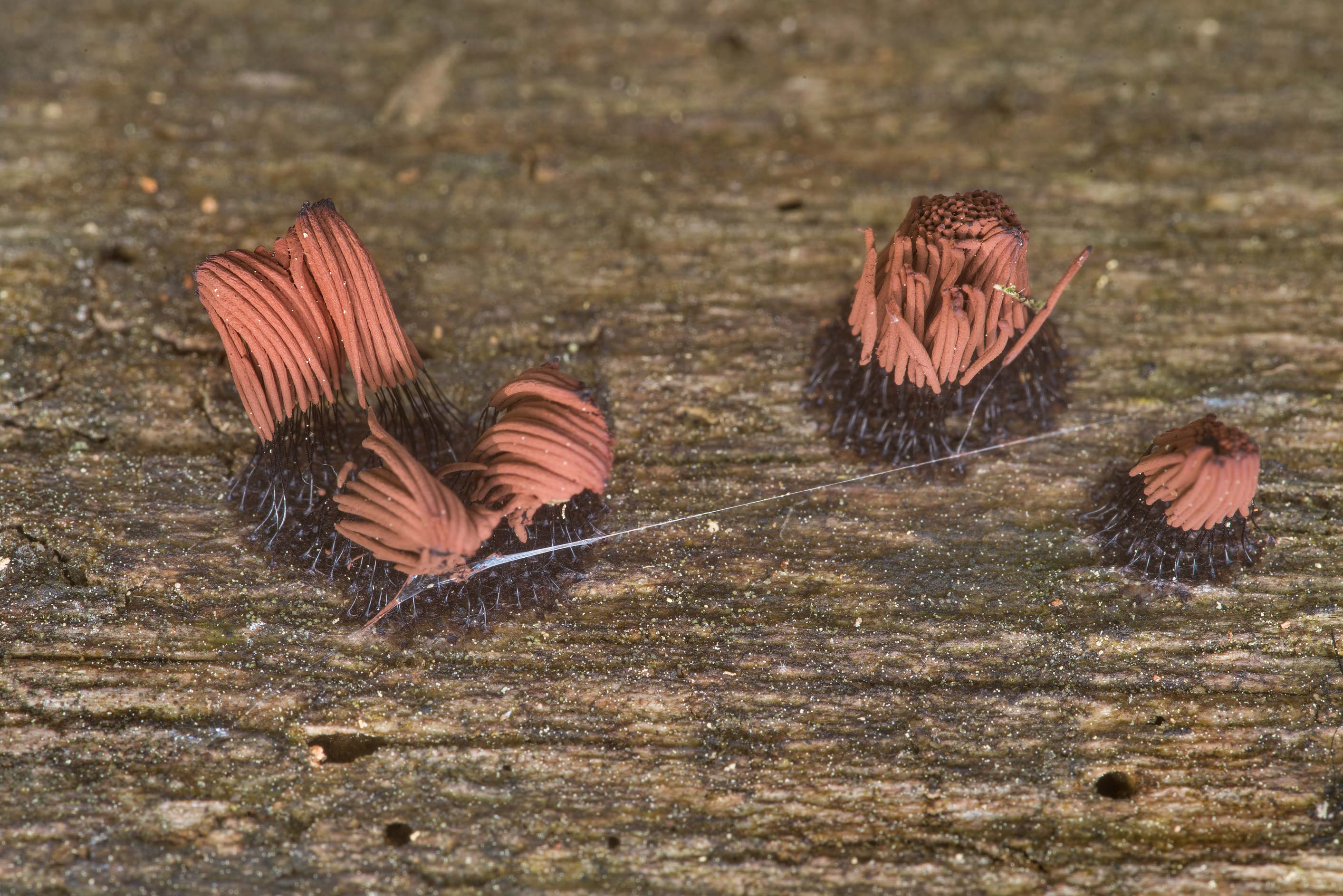 Brown sporangia of chocolate tube slime mold...in Sam Houston National Forest. Texas