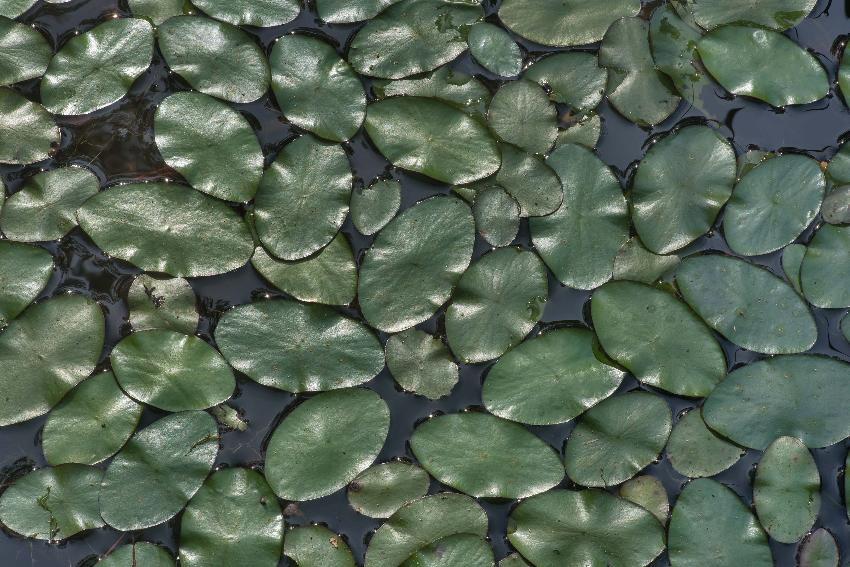 Floating oval leaves of an aquatic plant...National Forest near Richards. Texas