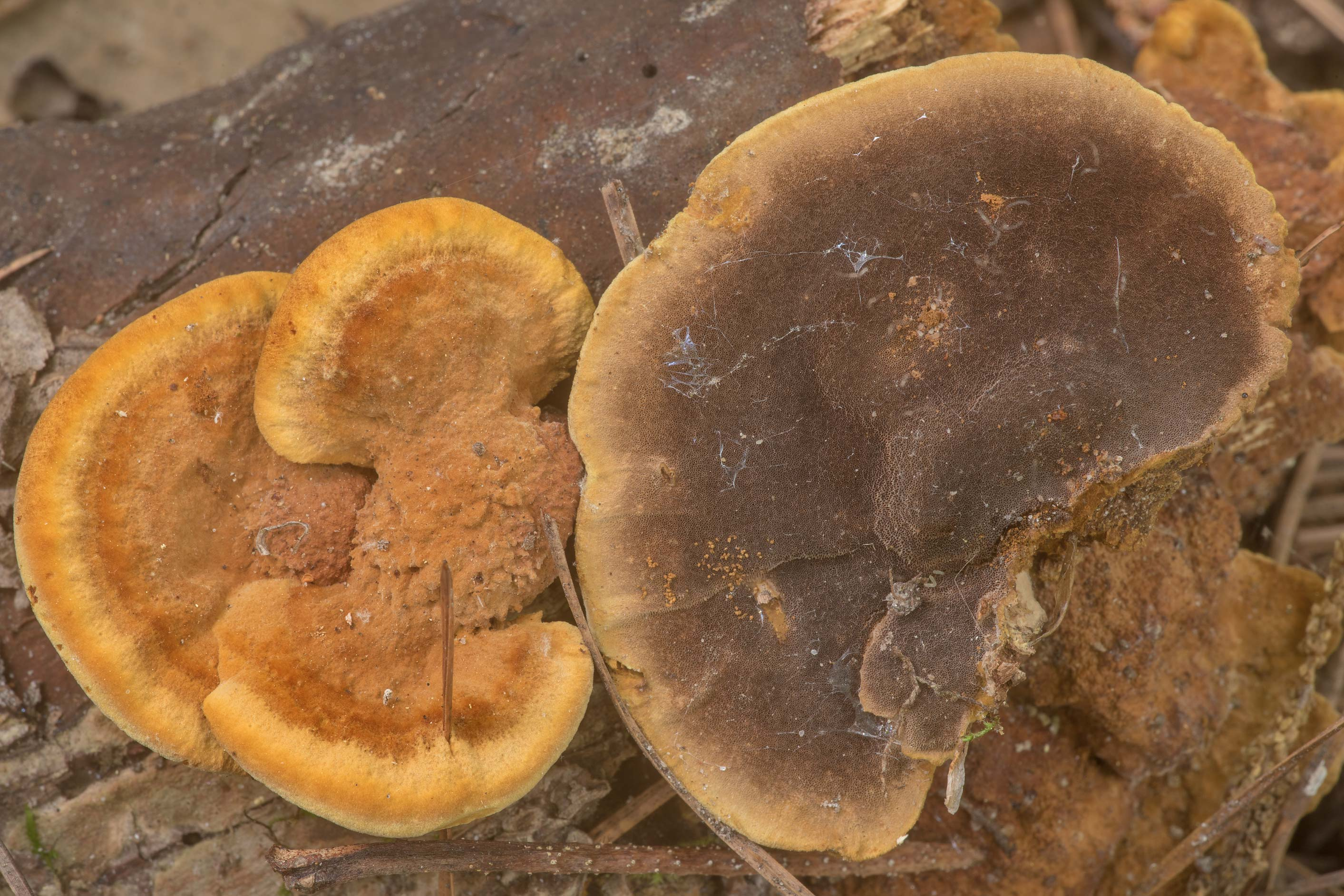 Underside of brown mushrooms Fuscoporia gilva...Forest north from Montgomery. Texas