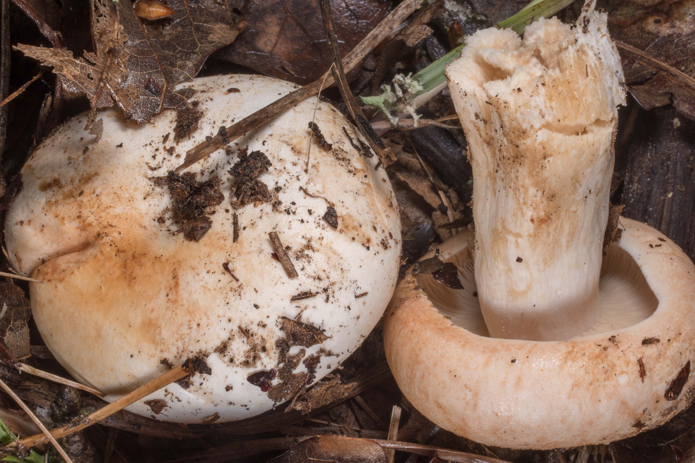 Firm Russula mushrooms (Russula compacta) under a...of Somerville Lake State Park. Texas