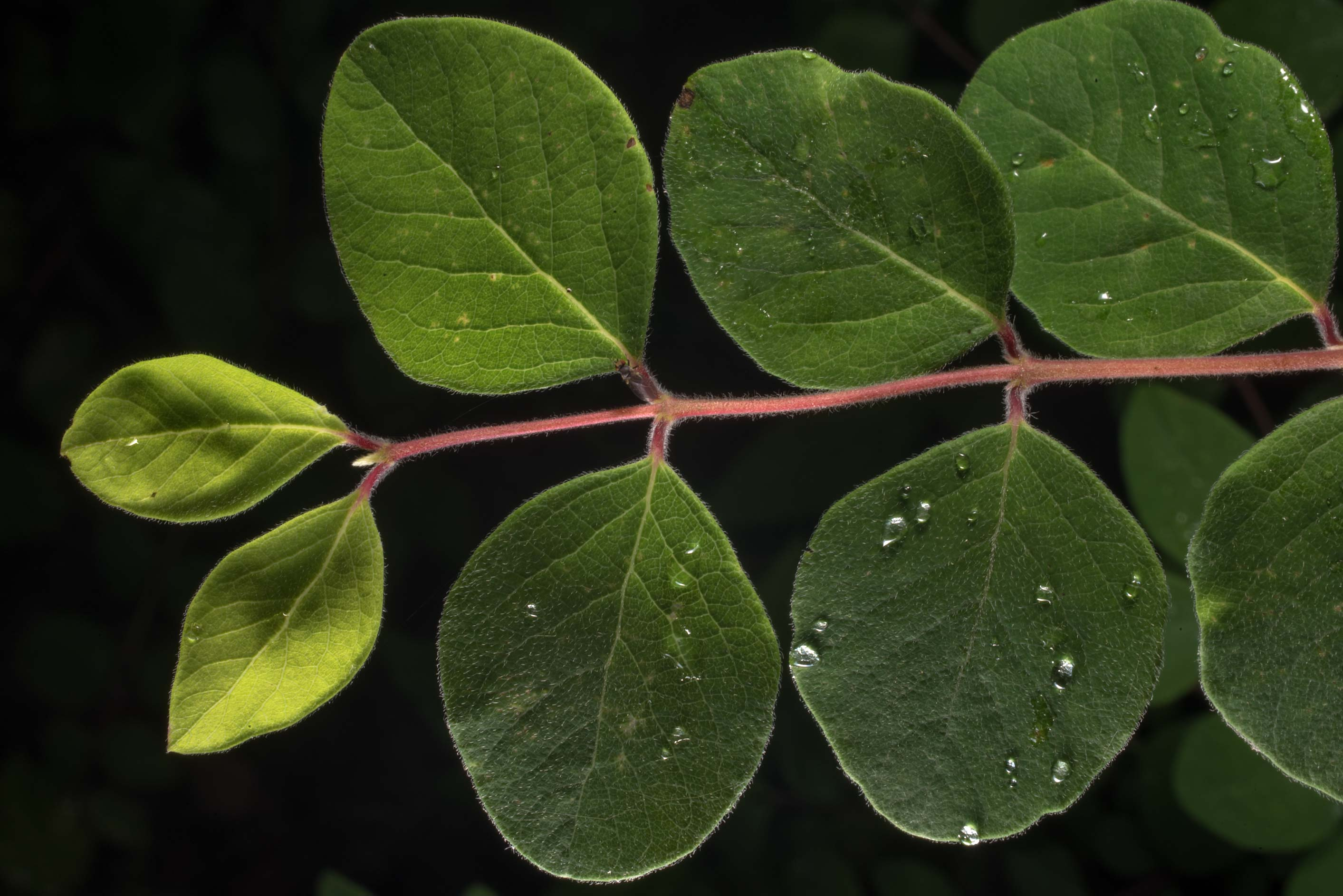 Leaves of coralberry (Symphoricarpos orbiculatus...of Somerville Lake State Park. Texas