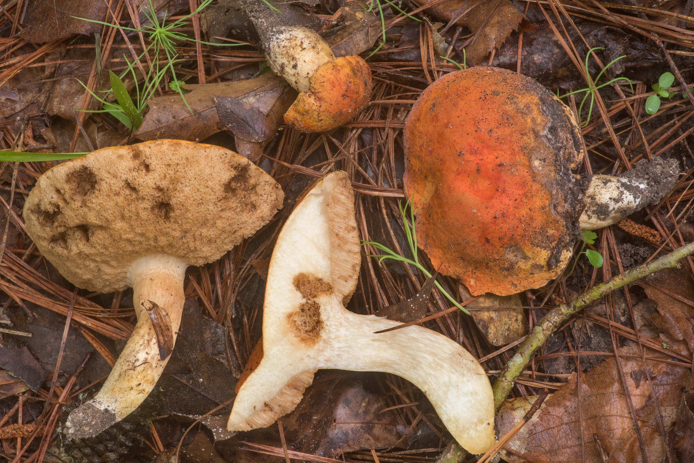 Dissected burnt orange bolete mushrooms...Forest north from Montgomery. Texas