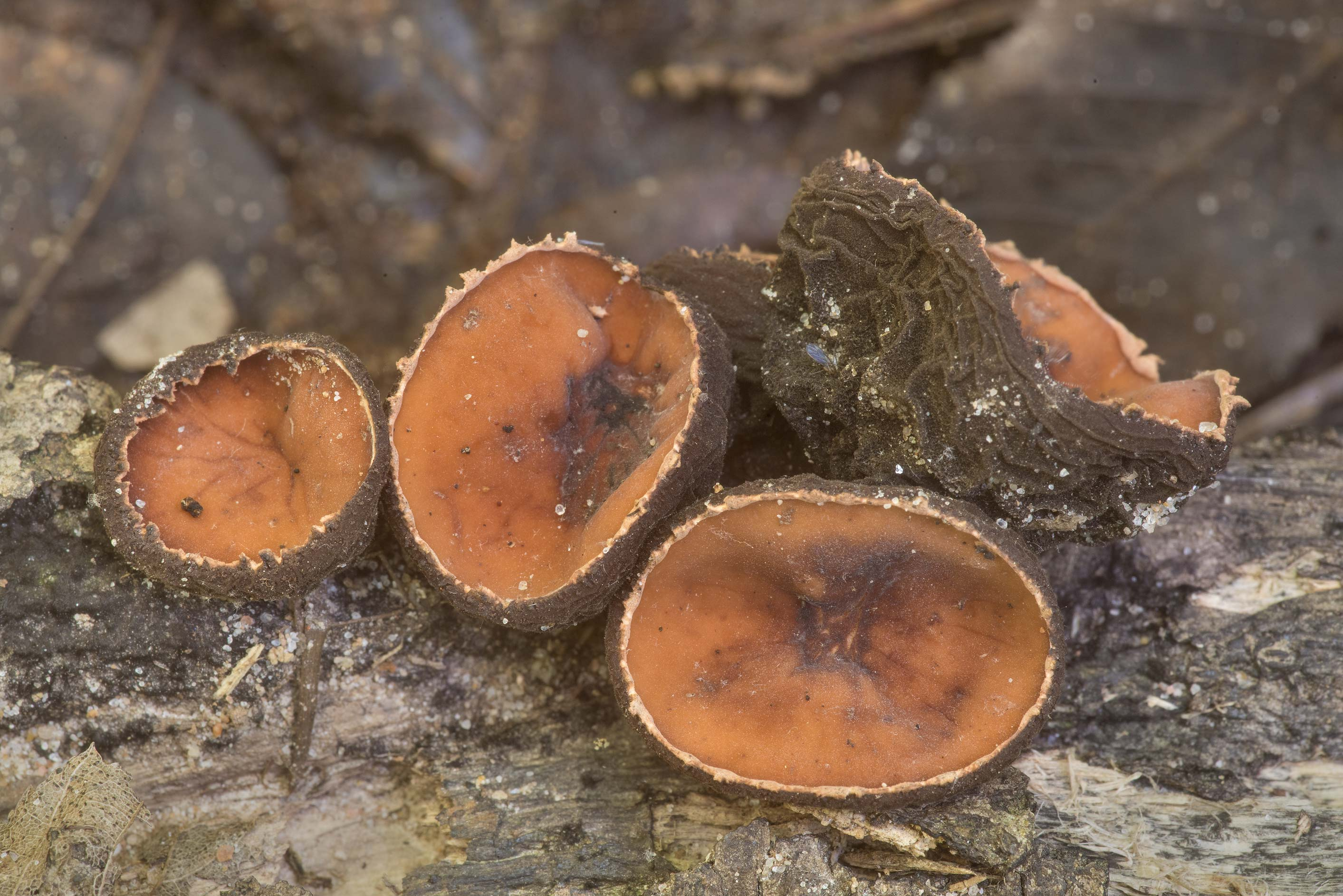 Close-up of rufous rubber cup mushrooms Galiella...National Forest. Shepherd, Texas