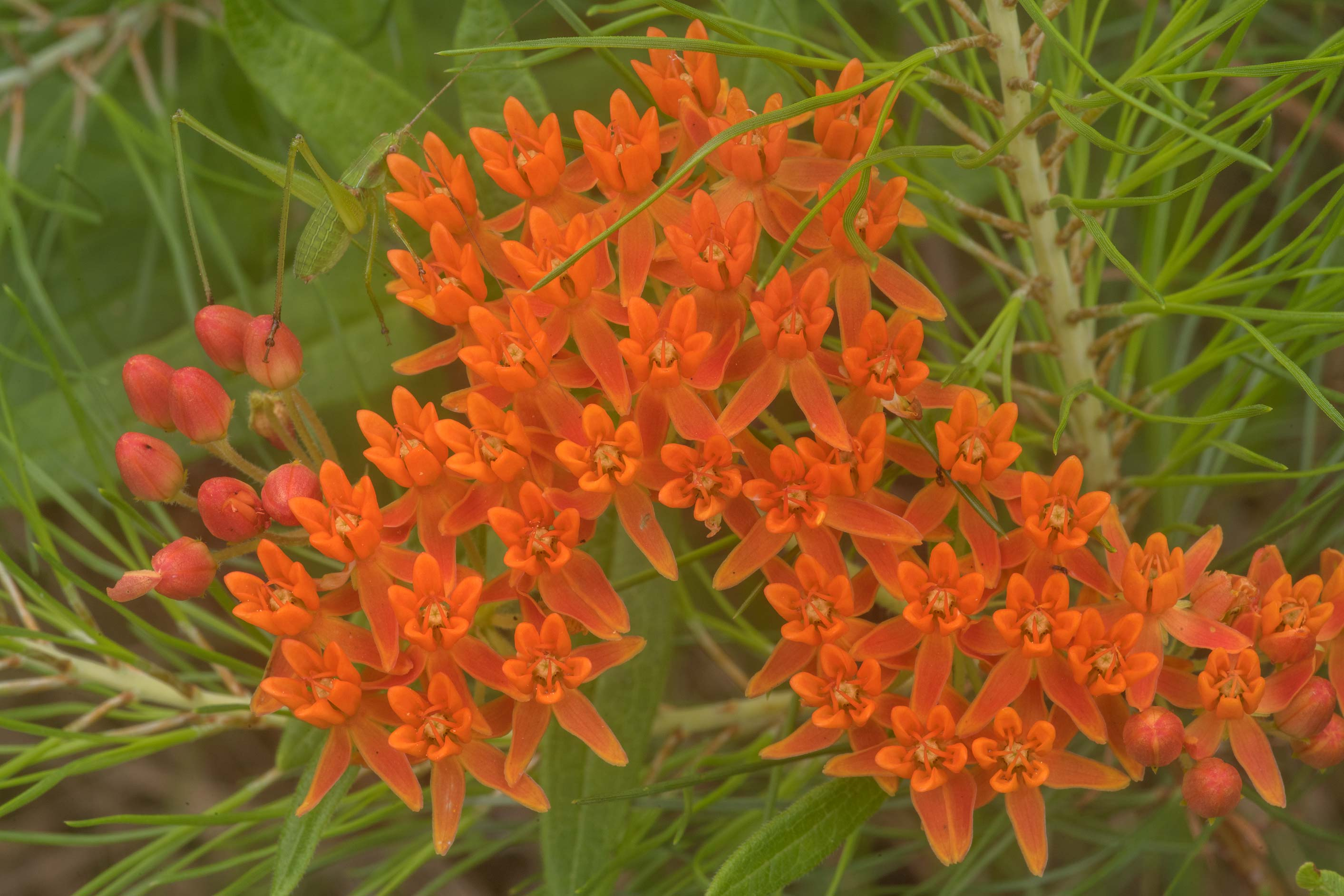 Orange milkweed (Asclepias tuberosa) on Richards...in Sam Houston National Forest. Texas