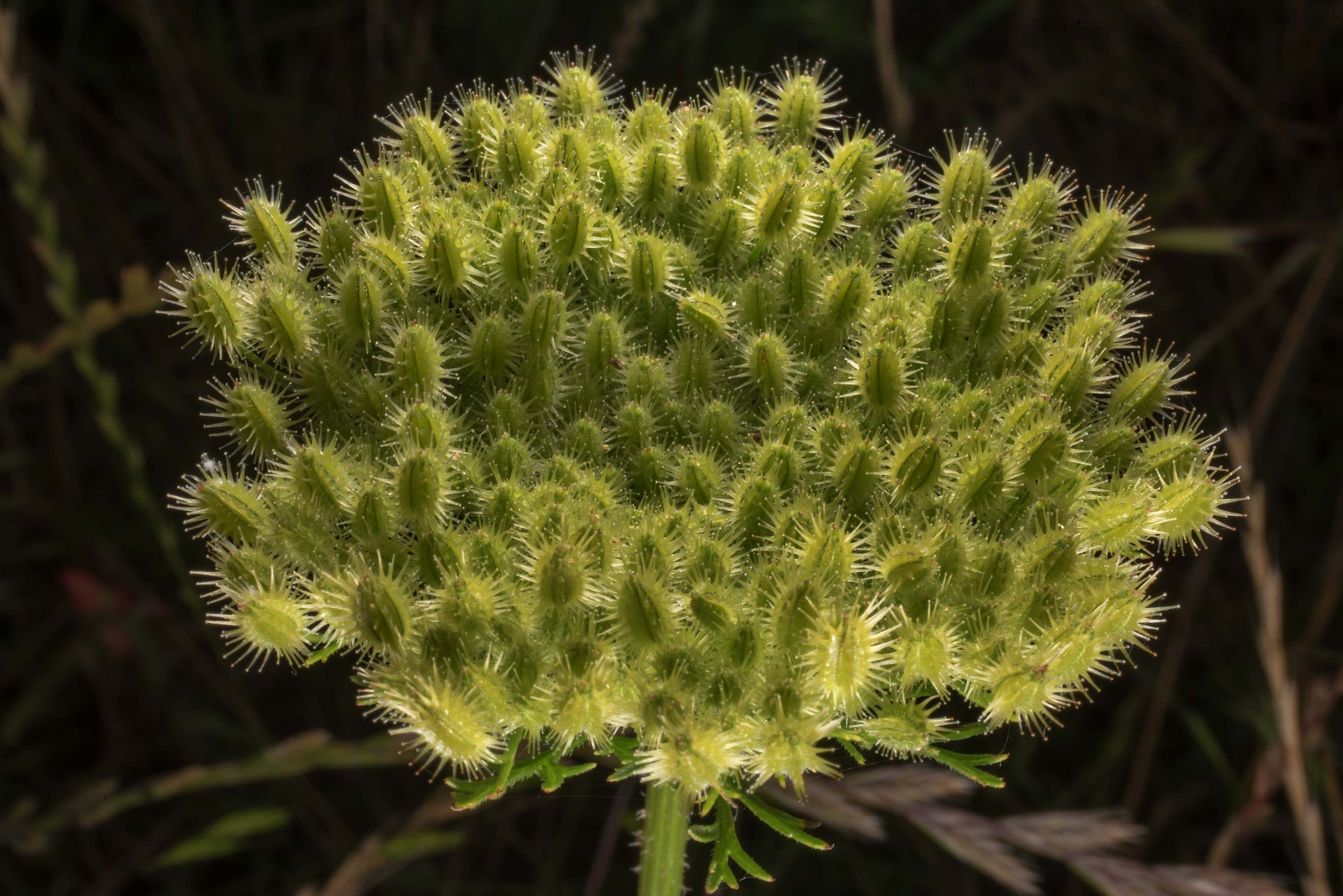 Seed head of Wild Carrot (Daucus pusillus) on...State Historic Site. Washington, Texas