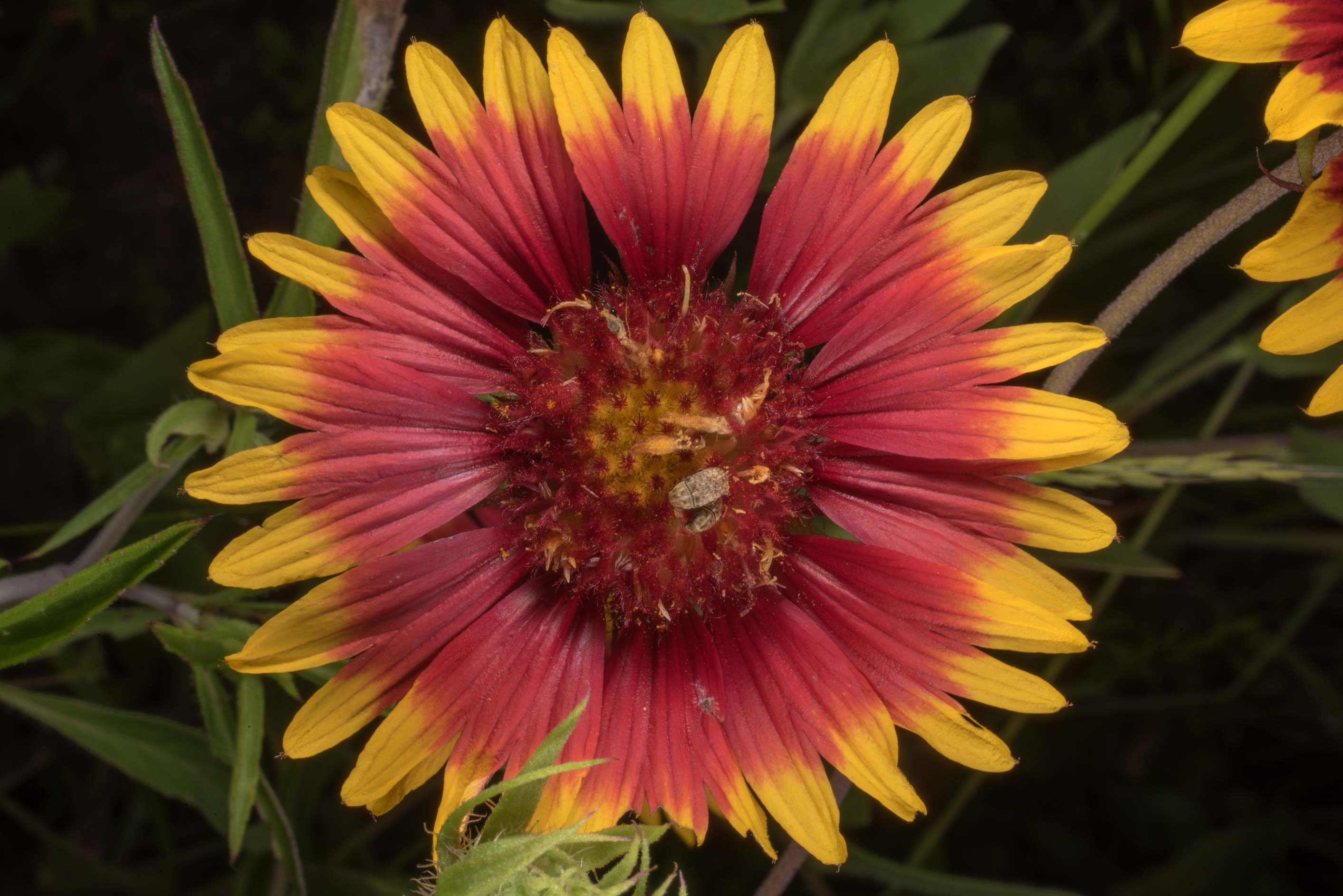 Firewheel (Gaillardia pulchella) on Wildflower...State Historic Site. Washington, Texas