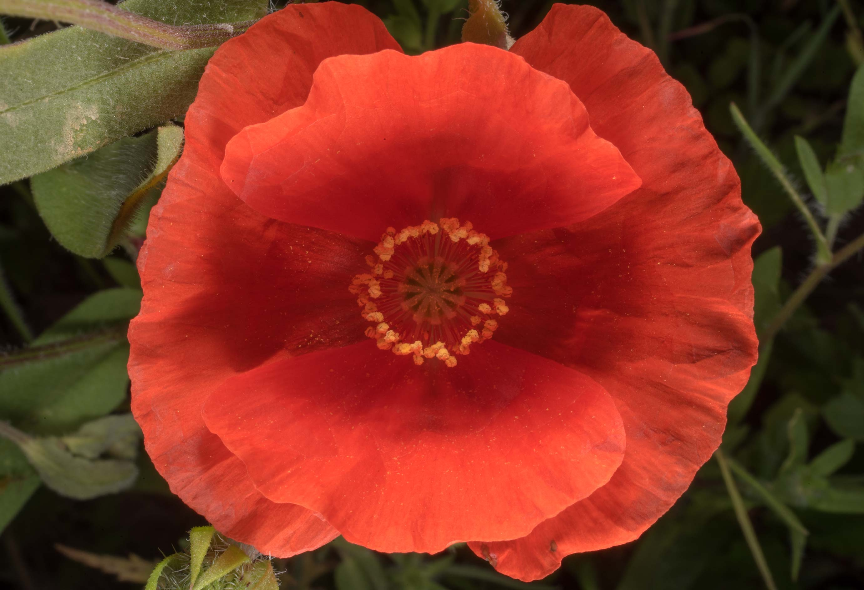 Upper view of common red corn poppy (Papaver...State Historic Site. Washington, Texas