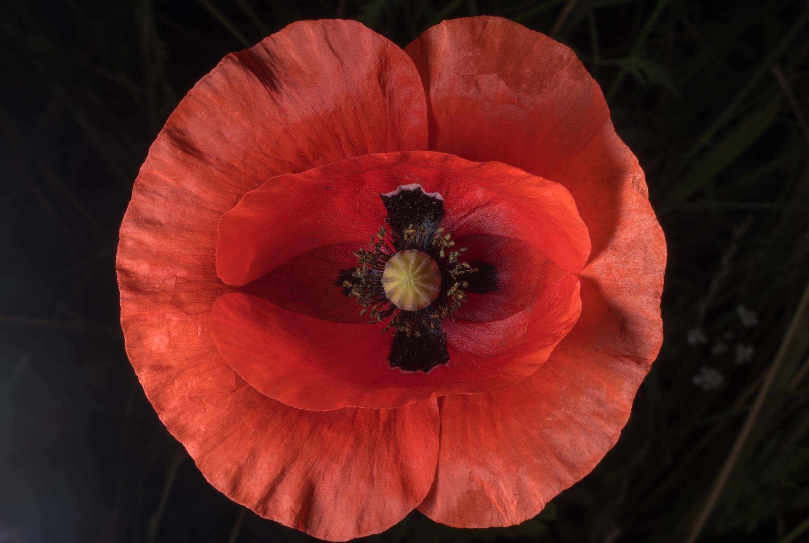 Common red corn poppy (Papaver rhoeas) with black...State Historic Site. Washington, Texas