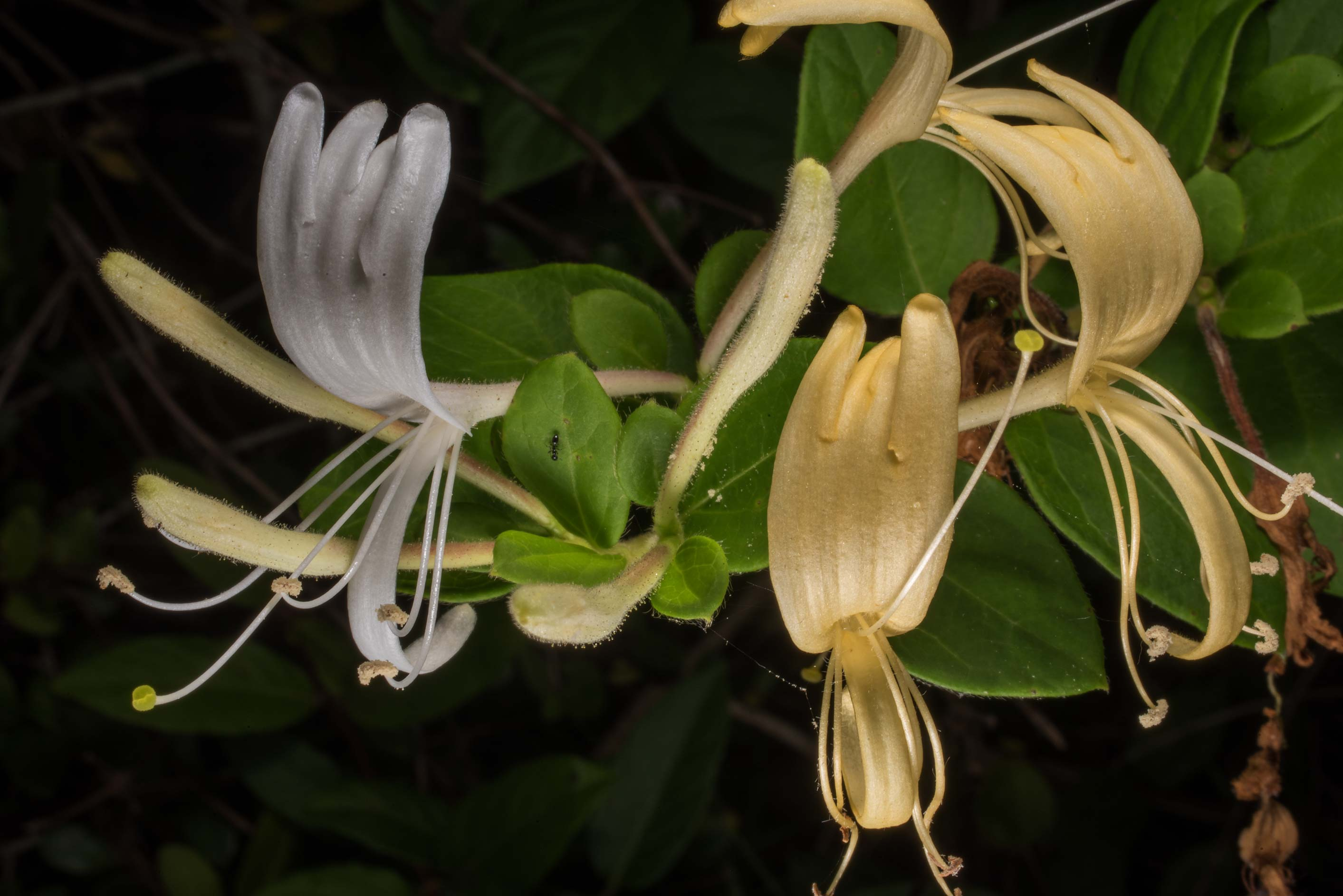 Japanese honeysuckle (Lonicera japonica) in...State Historic Site. Washington, Texas