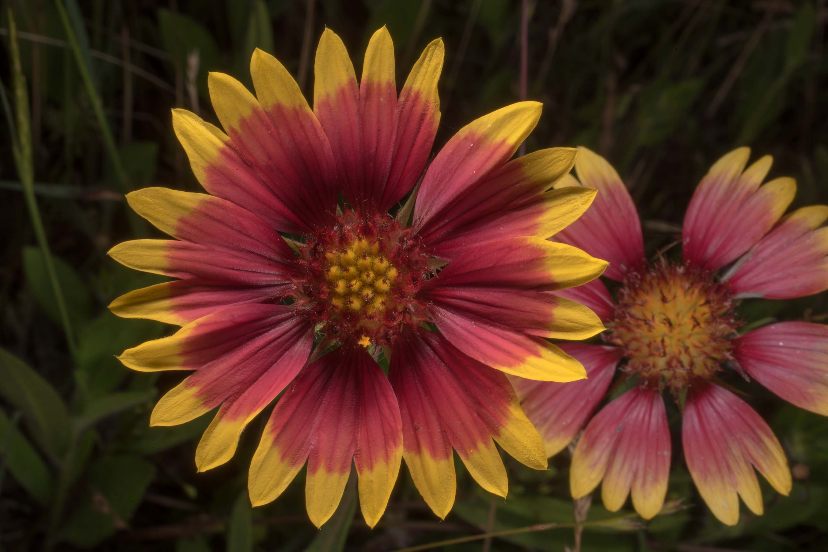 Red flowers of firewheel (Gaillardia pulchella...State Historic Site. Washington, Texas