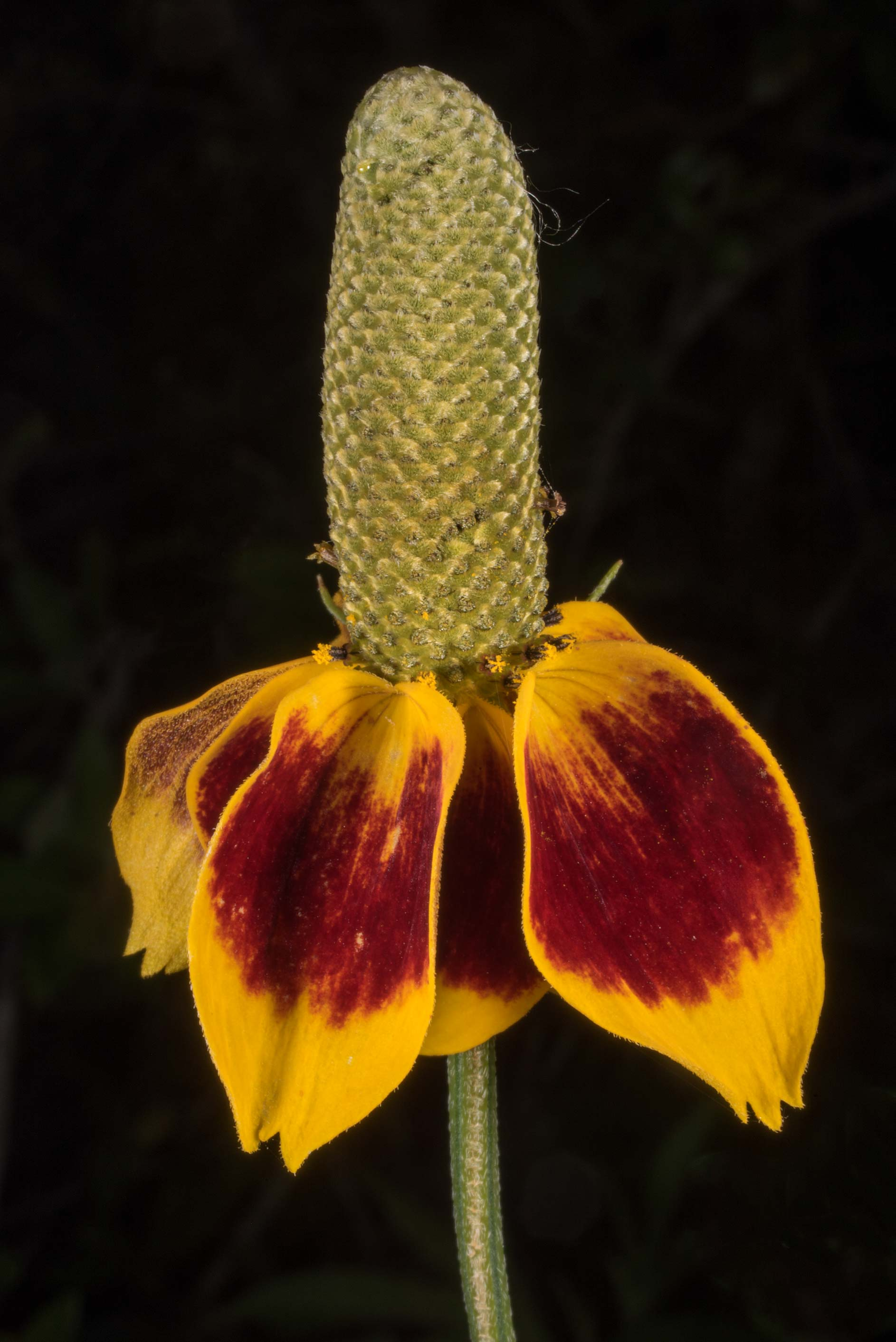 Blooming Mexican hat (Ratibida columnifera) in...State Historic Site. Washington, Texas