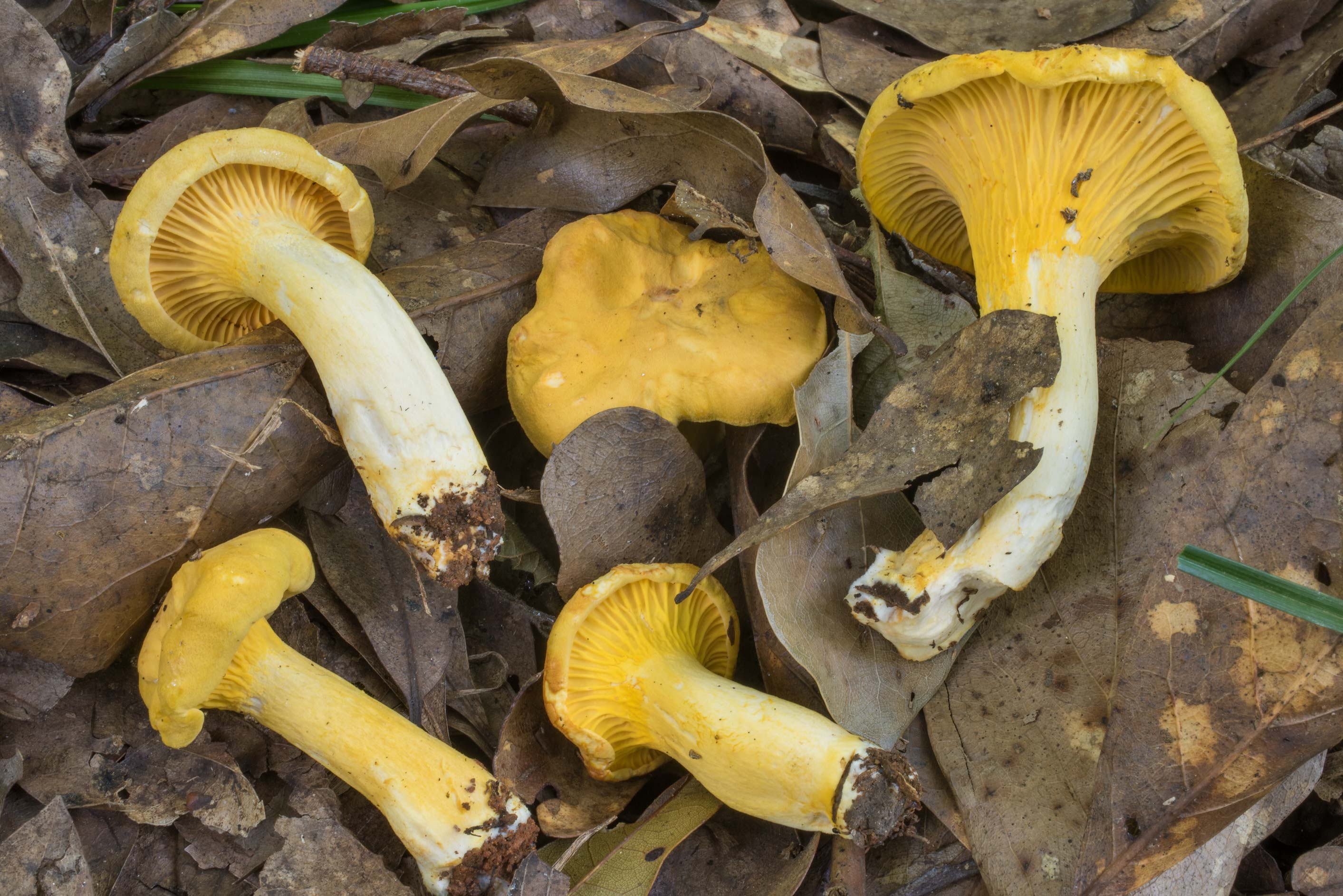 Golden chanterelle mushrooms (Cantharellus...Creek Park. College Station, Texas