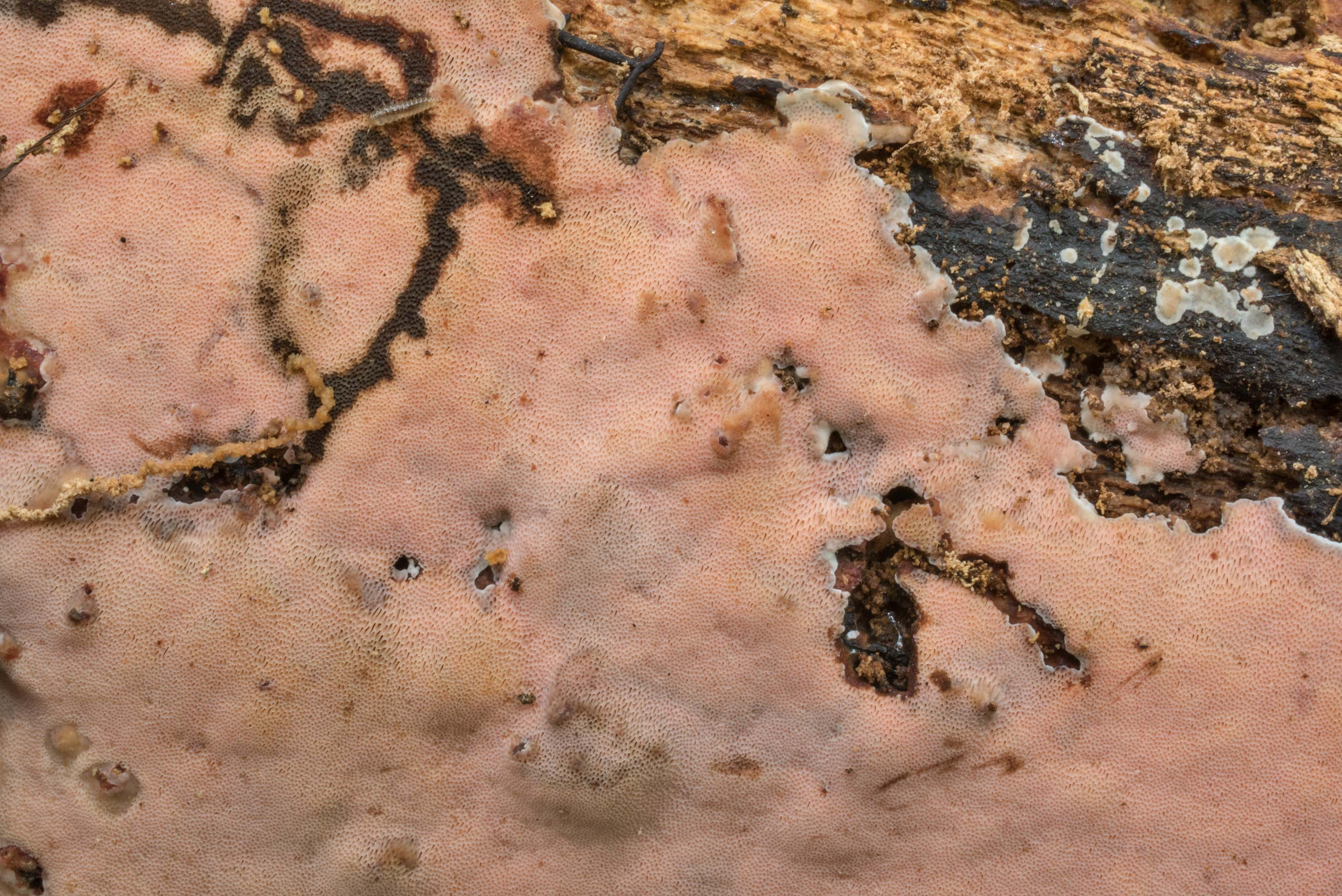 Close-up of a pinkish resupinate polypore...Forest north from Montgomery. Texas