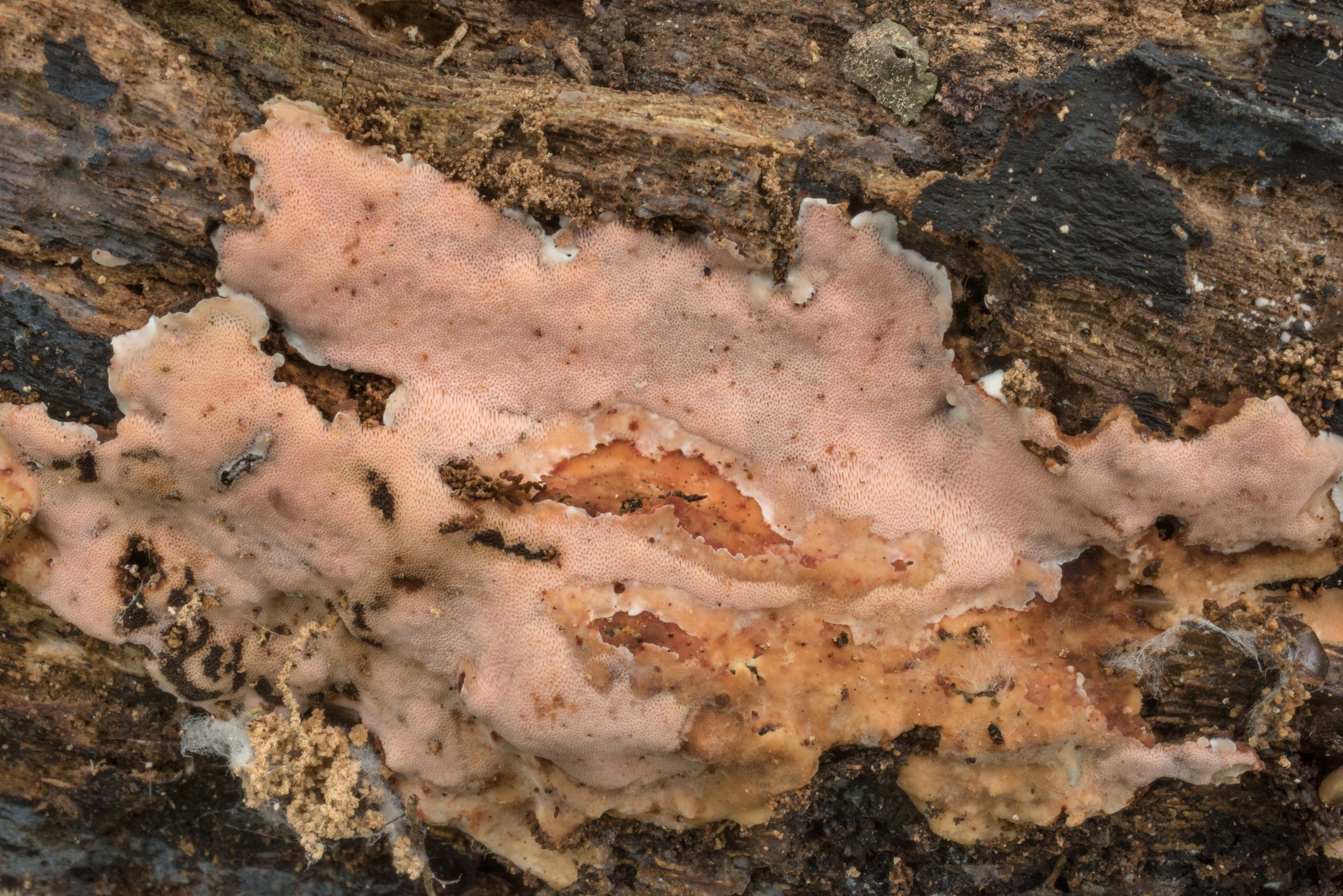 Pinkish patch of resupinate polypore mushroom on...Forest north from Montgomery. Texas