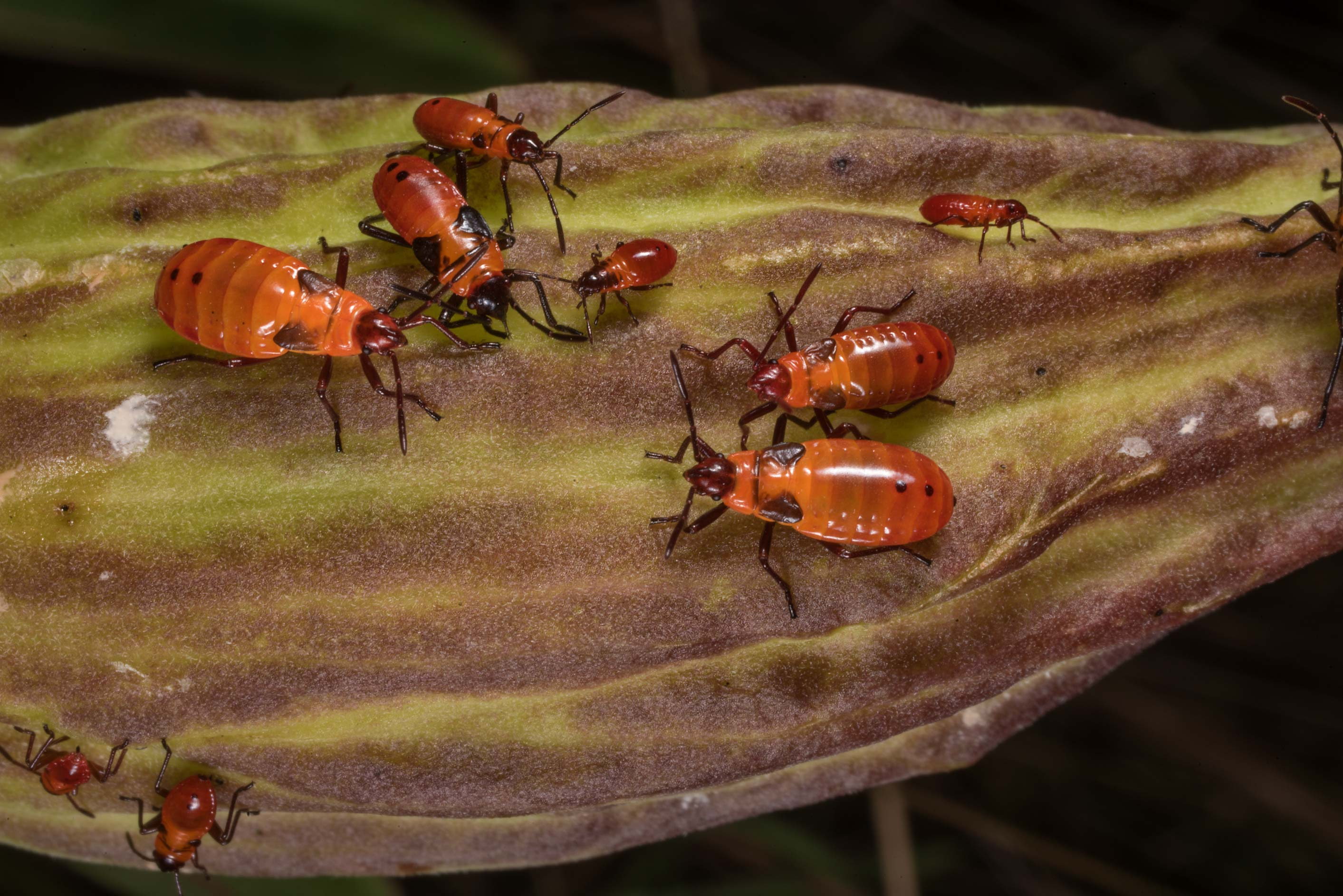 Nymphs of red milkweed bugs on green milkweed...State Historic Site. Washington, Texas