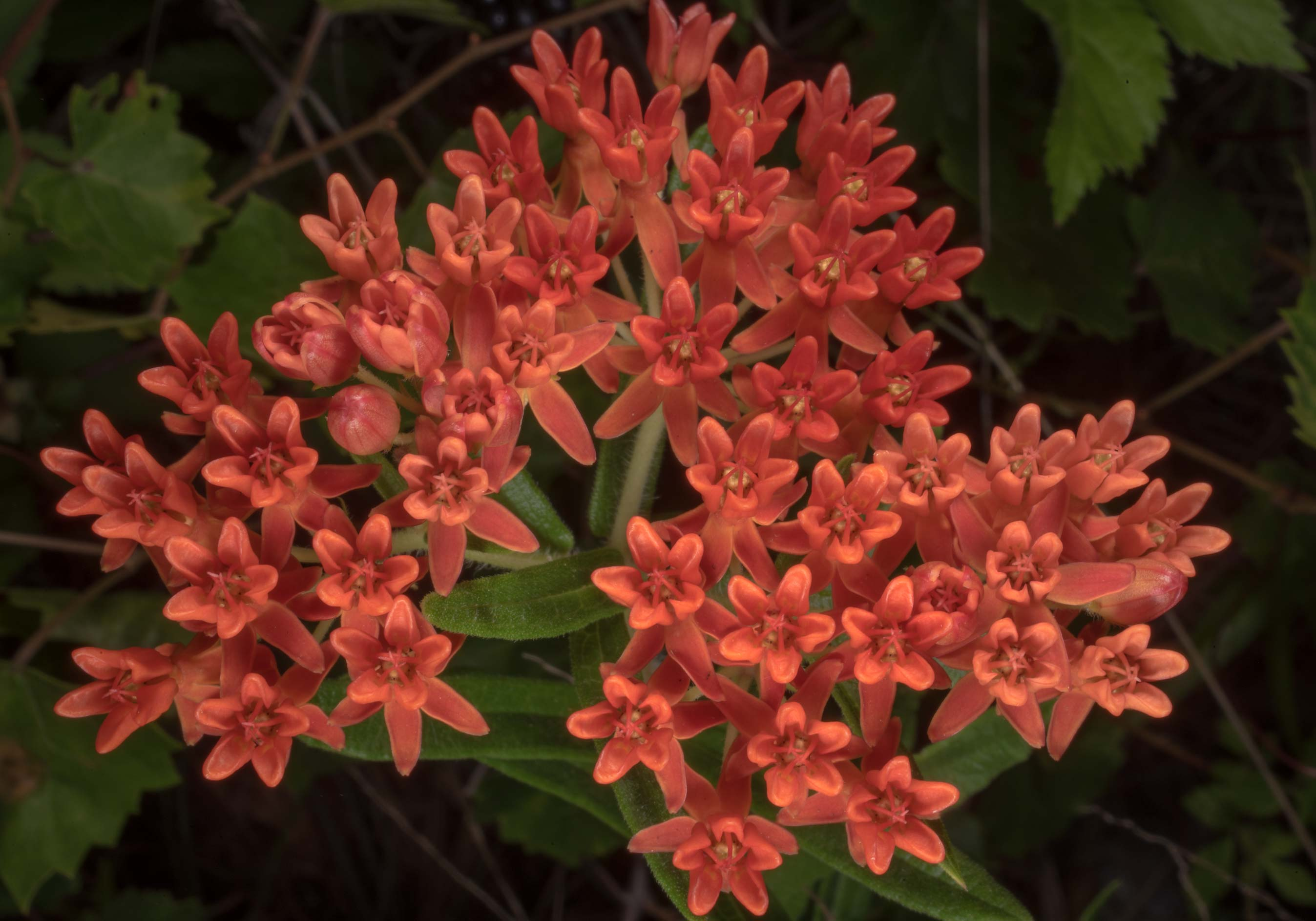 Blooming orange milkweed (Asclepias tuberosa) on...in Sam Houston National Forest. Texas
