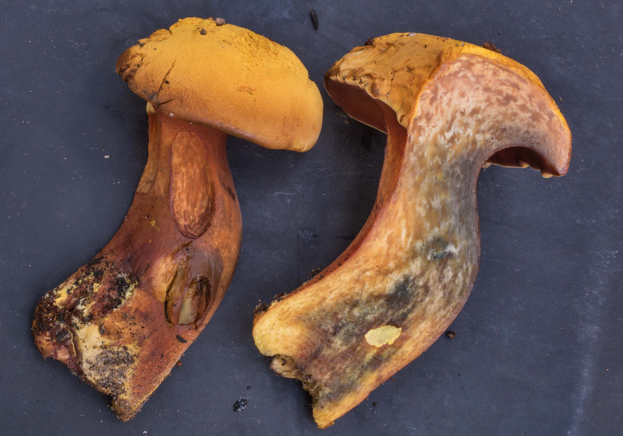 Cross section of bolete mushroom Buchwaldoboletus...in Sam Houston National Forest. Texas