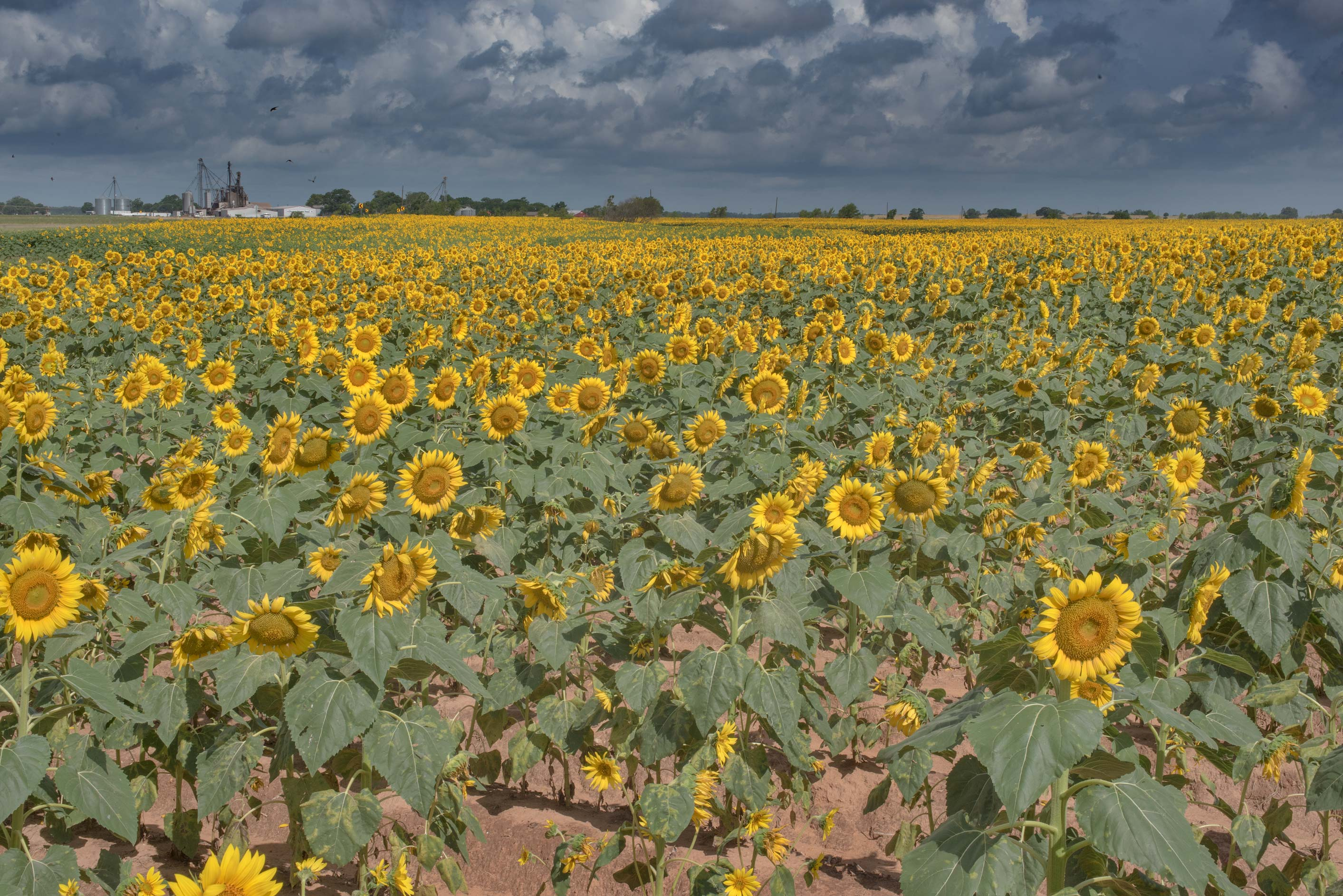 Agricultural fields with sunflowers on Tom Moore Rd.. Washington, Texas