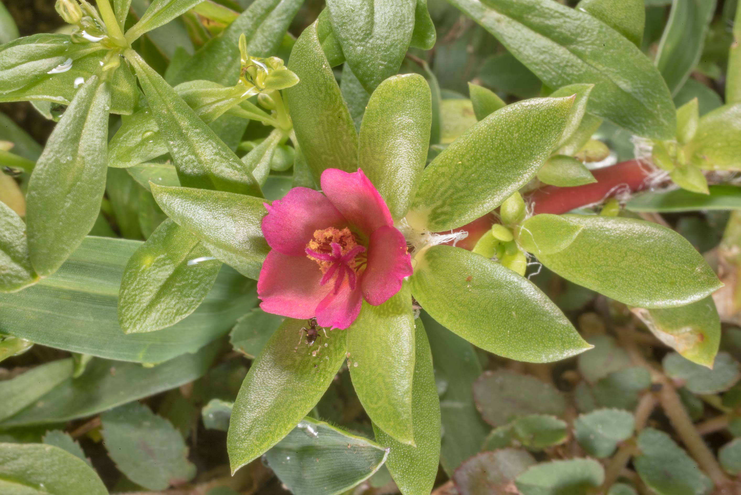 Small red flower of Paraguayan purslane...Ashburn St.. College Station, Texas