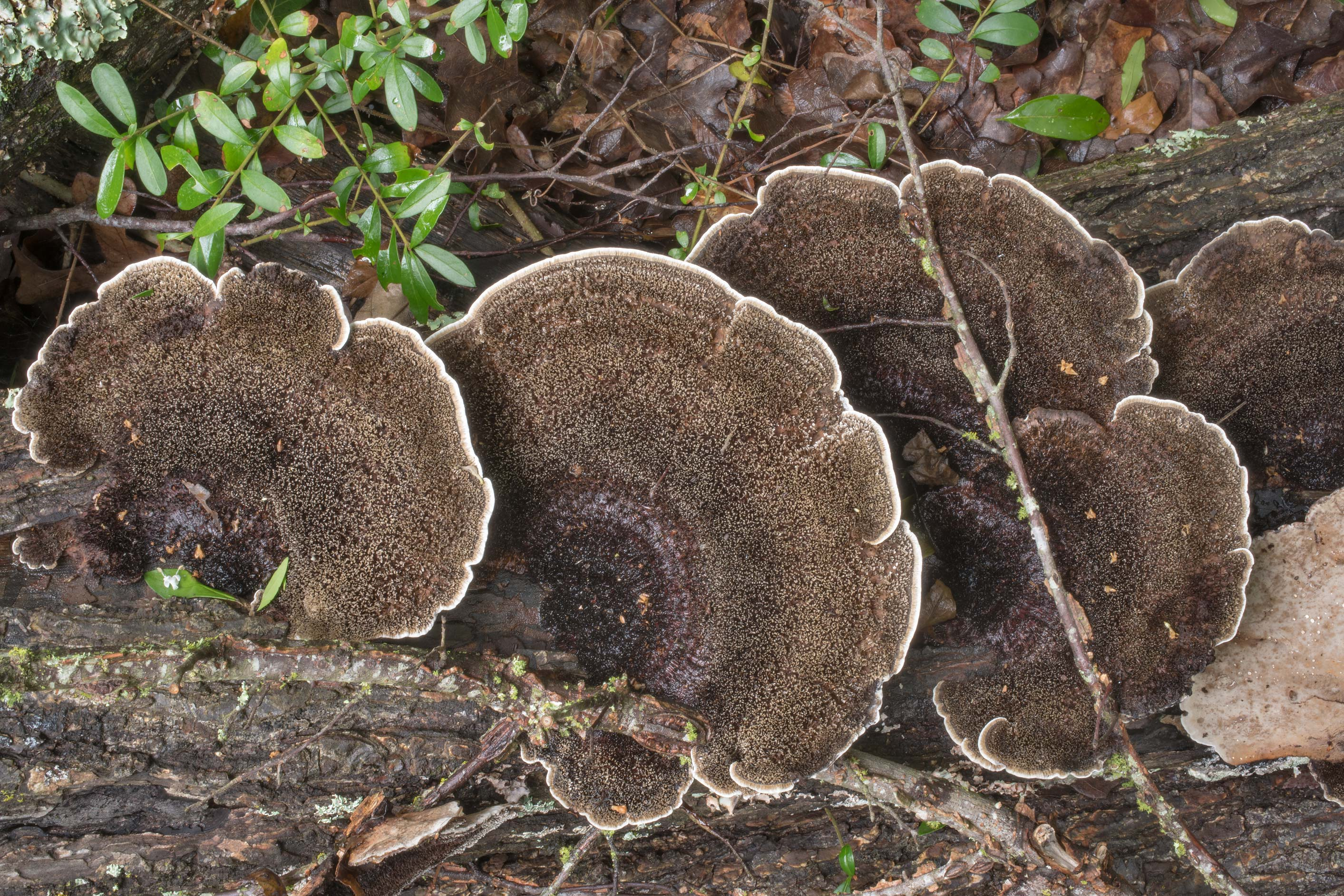 Hairy caps of hexagon bracket mushrooms...Ashburn St.. College Station, Texas