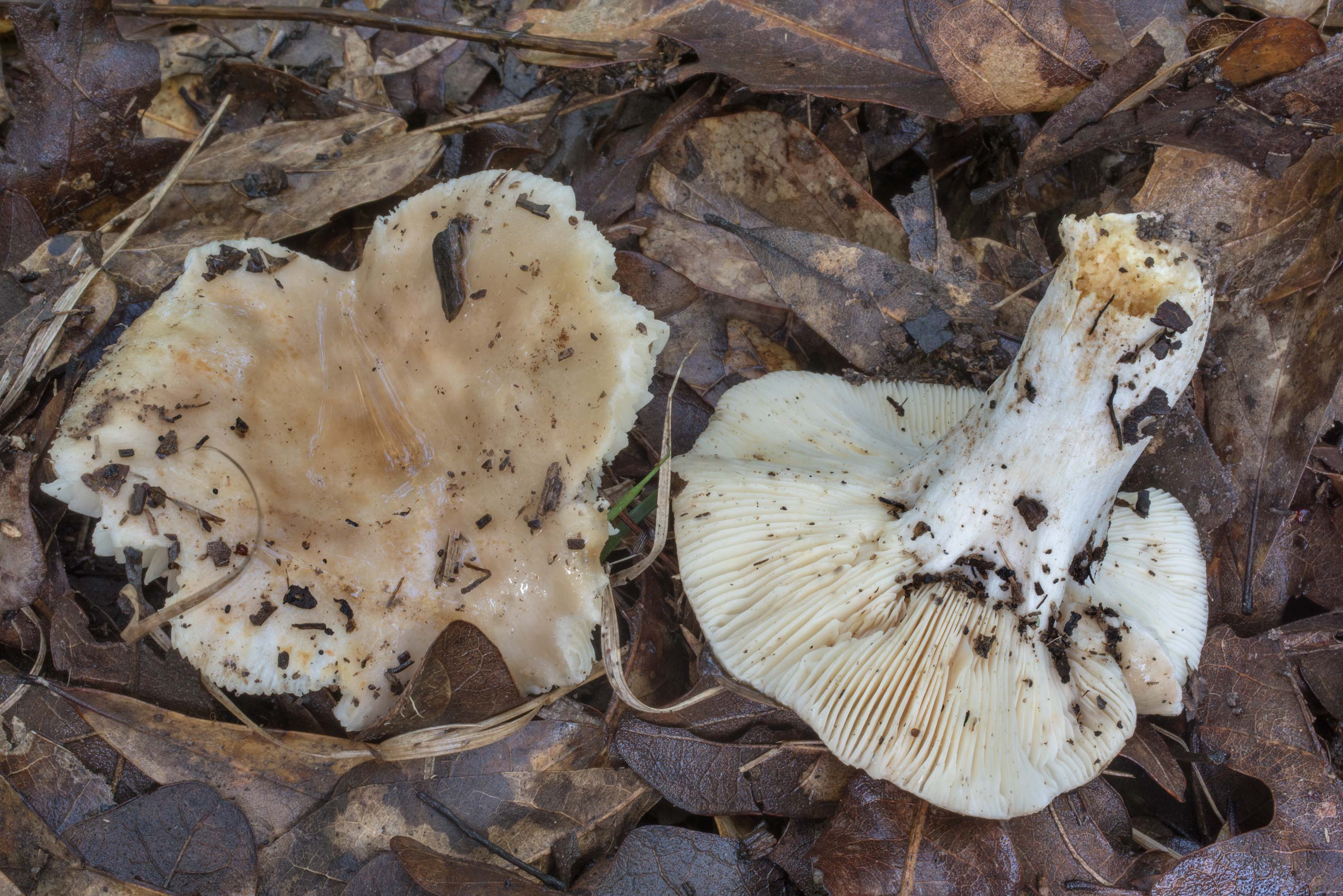Pale brown brittlegill (Russula) mushrooms in Lick Creek Park. College Station, Texas