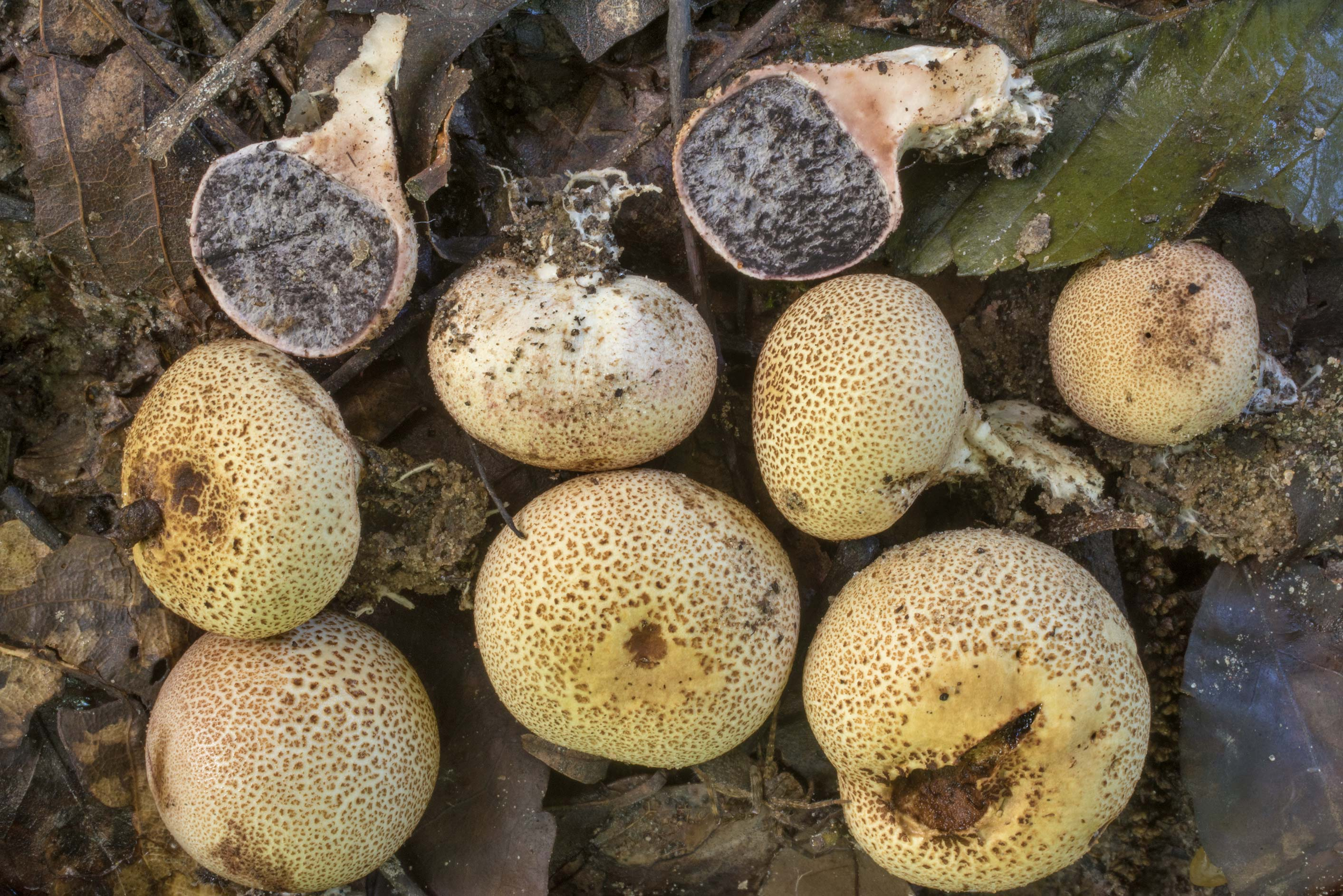 Leopard earthball mushrooms Scleroderma areolatum...Creek Park. College Station, Texas