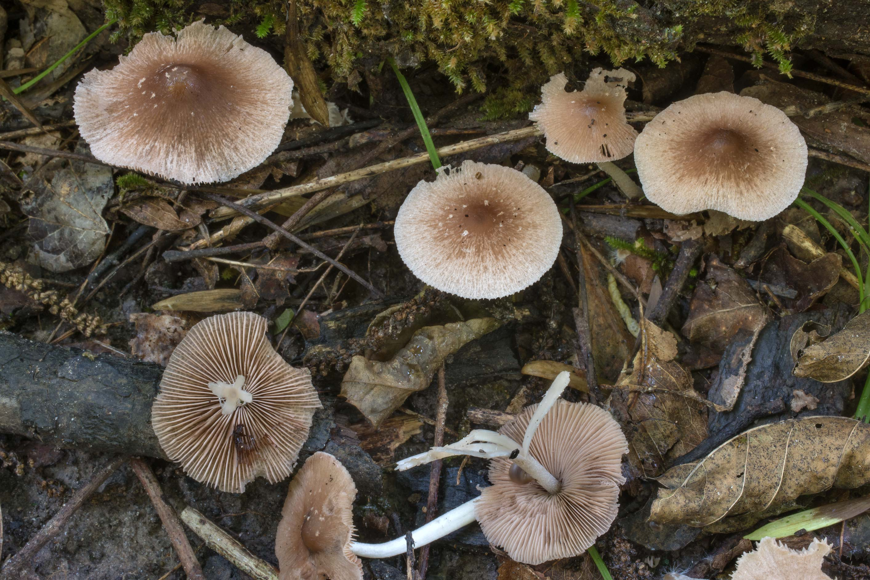 Brittlegill mushrooms (Psathyrella) in Lick Creek Park. College Station, Texas