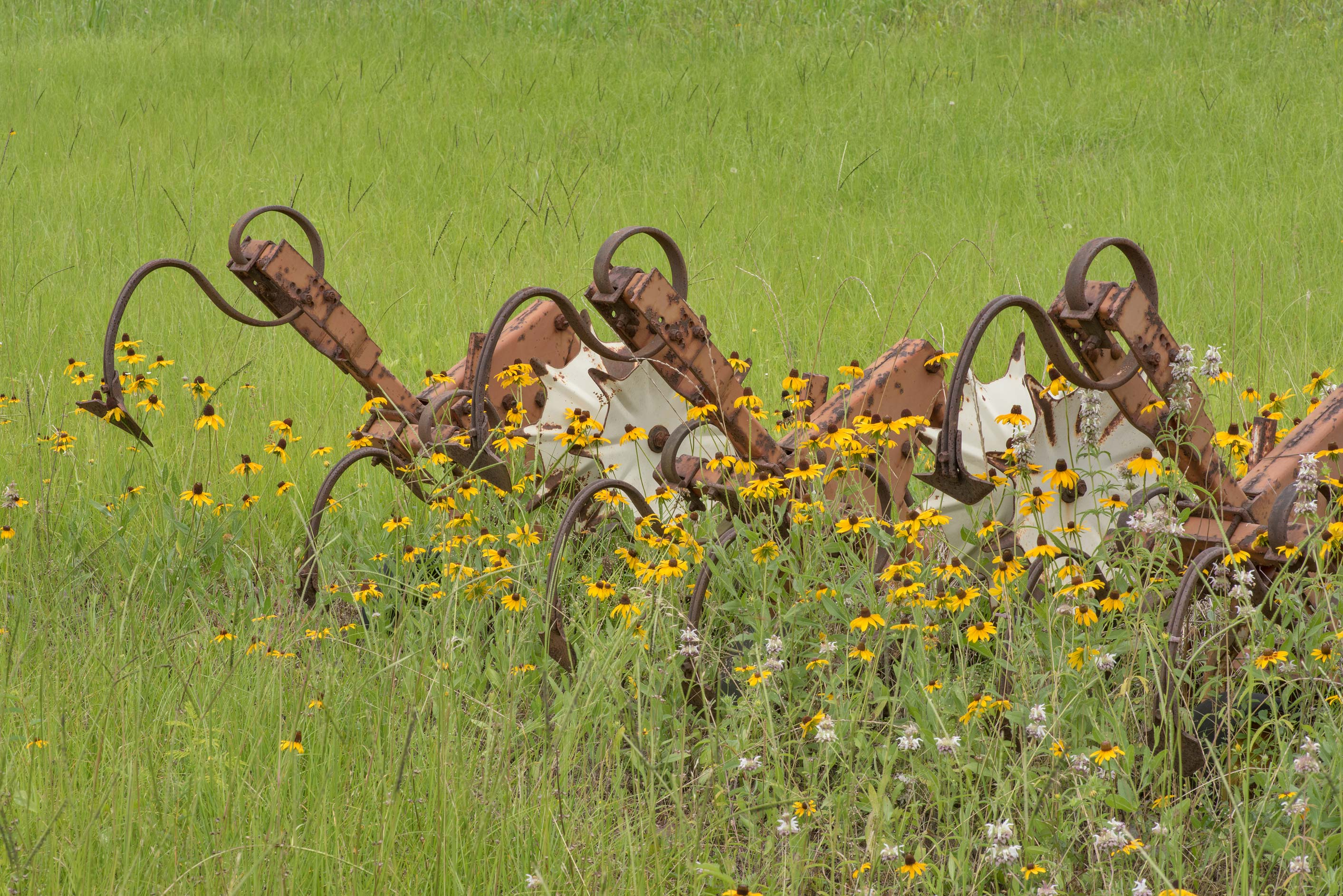 Black-eyed susan flowers and rusty farm machinery...at 10655 FM 149 in Richards. Texas