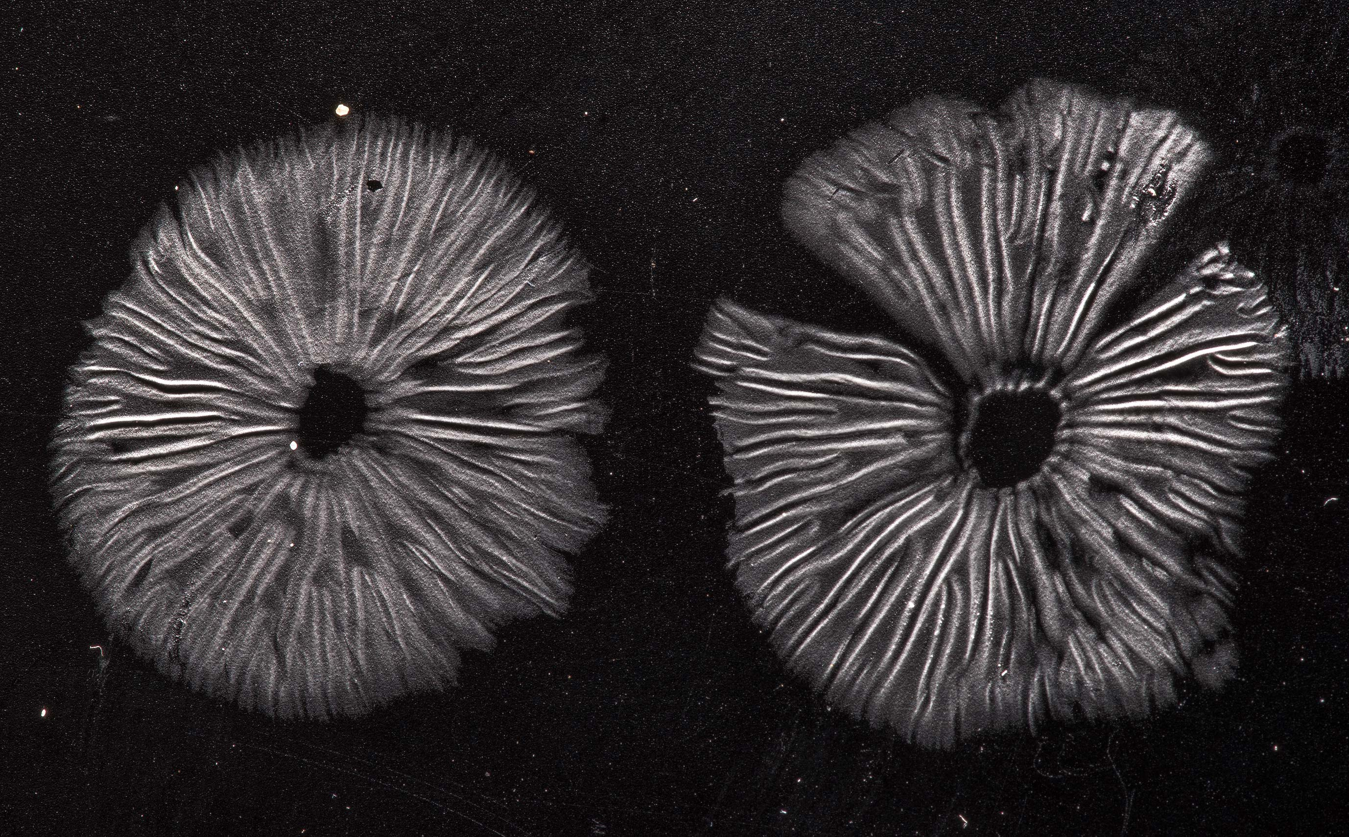 White spore print of small Neohygrocybe mushrooms...Forest north from Montgomery. Texas