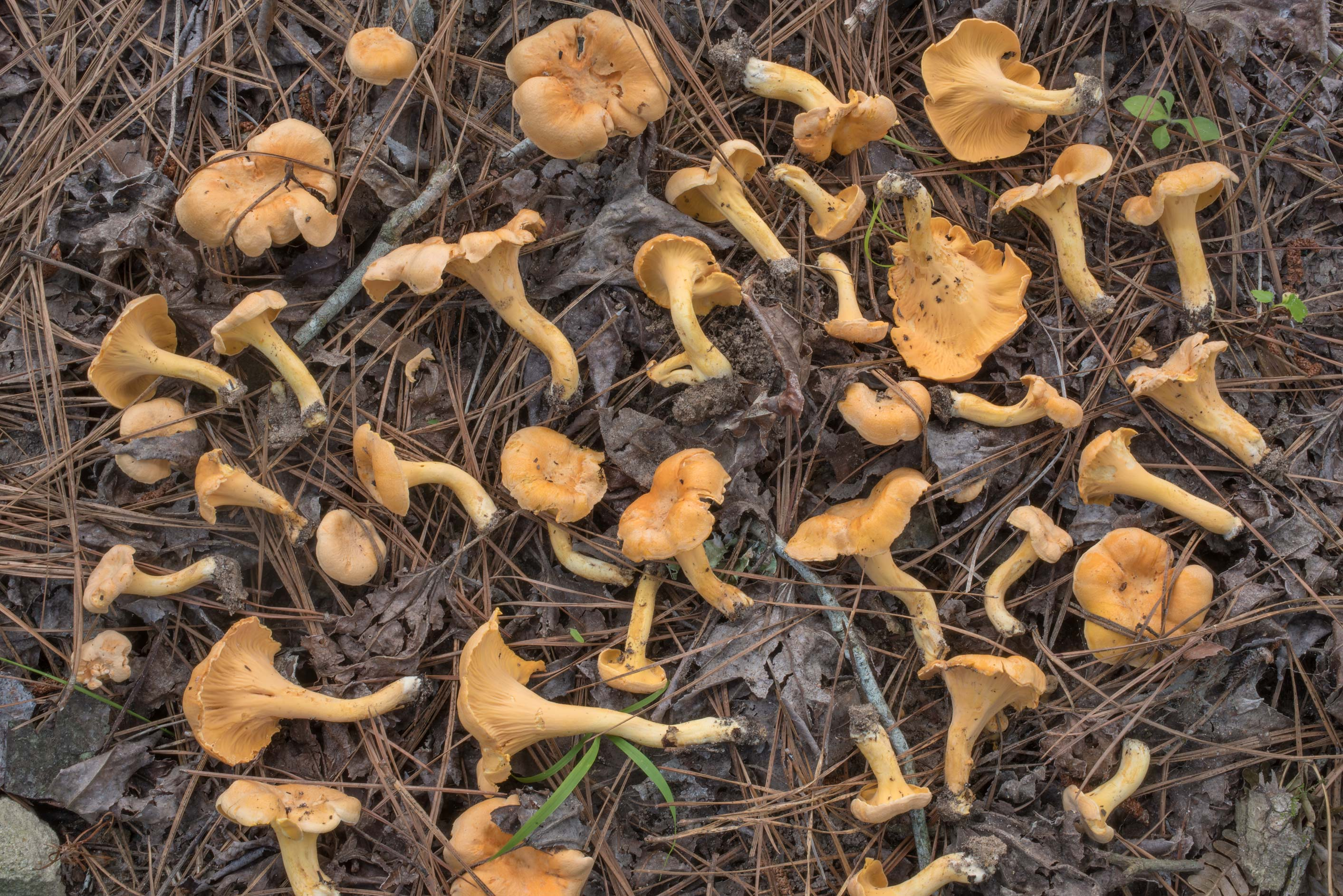 Large number of smooth chanterelle mushrooms...in Sam Houston National Forest. Texas