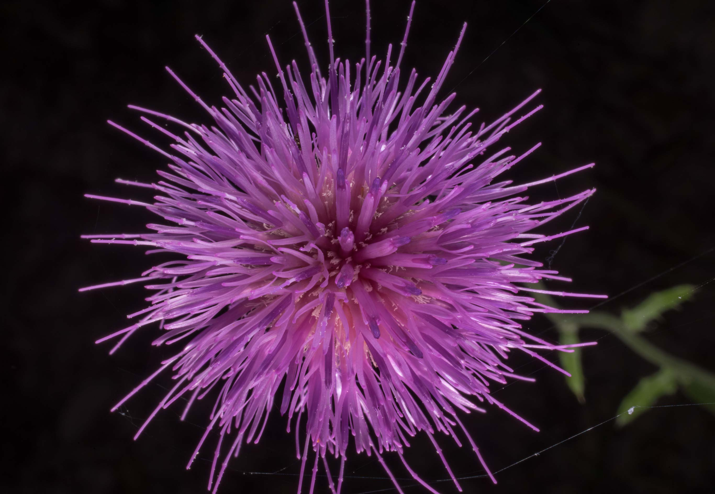 Thistle (Cirsium) at Lake Somerville Trailway...of Somerville Lake State Park. Texas